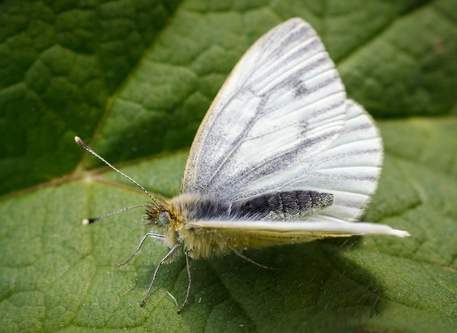 Cabbage White butterfly by Bushnall Photography