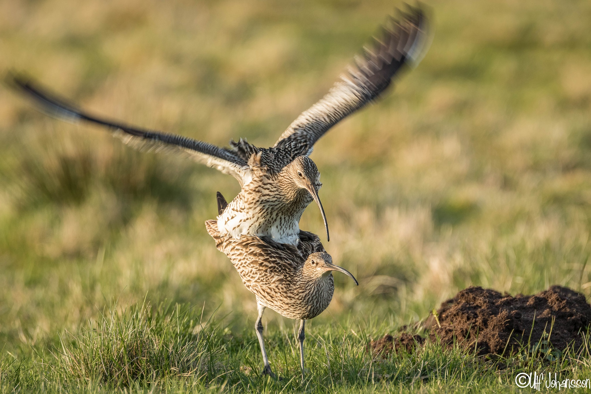 The eurasian curlew by ulf.johansson.7505