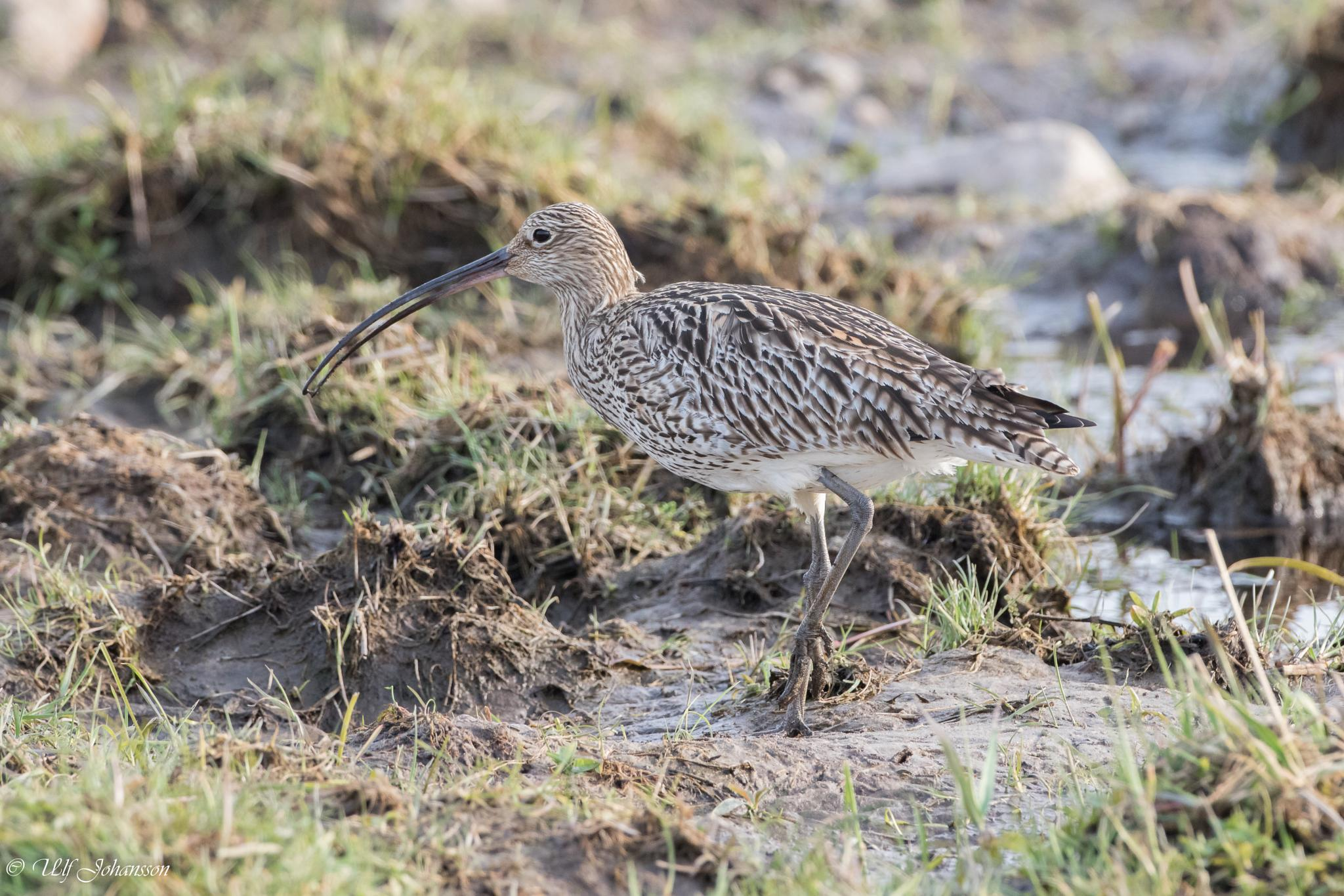 Eurasian curlew Storspov by ulf.johansson.7505