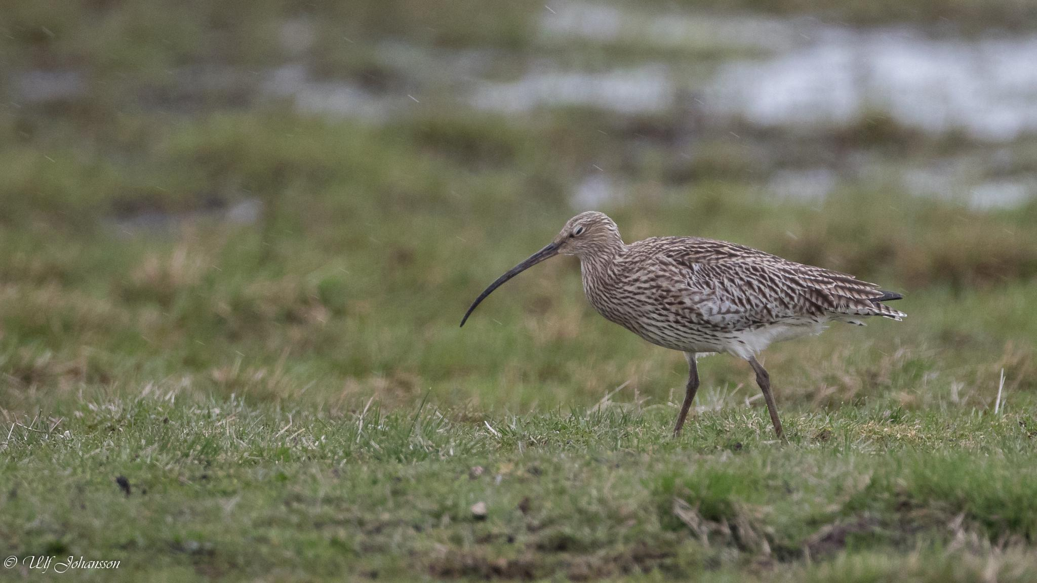 Eurasian curlew bad weather by ulf.johansson.7505