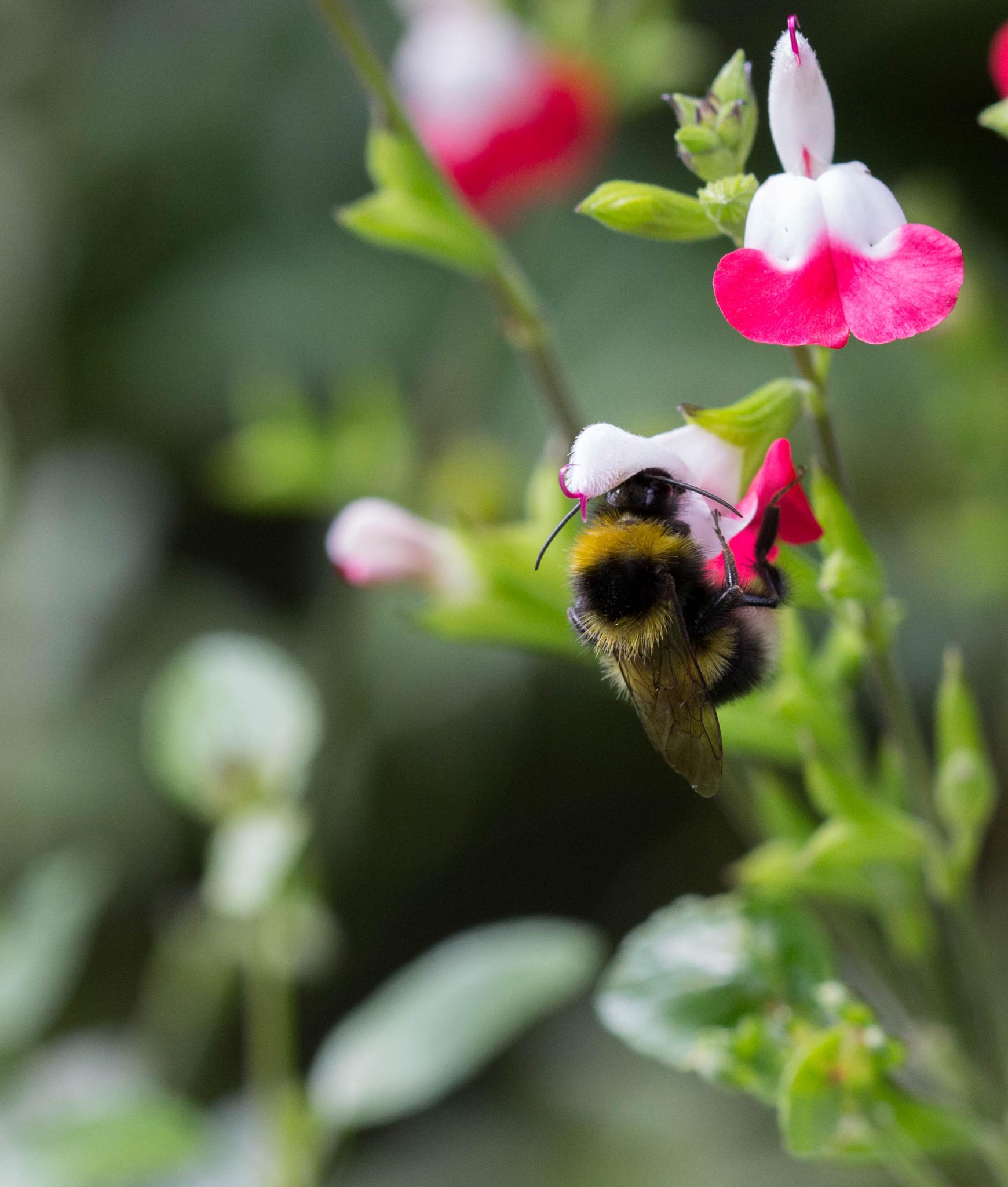 Photo in Nature #hot lips plant #bee #pollen #nature #close up #macro