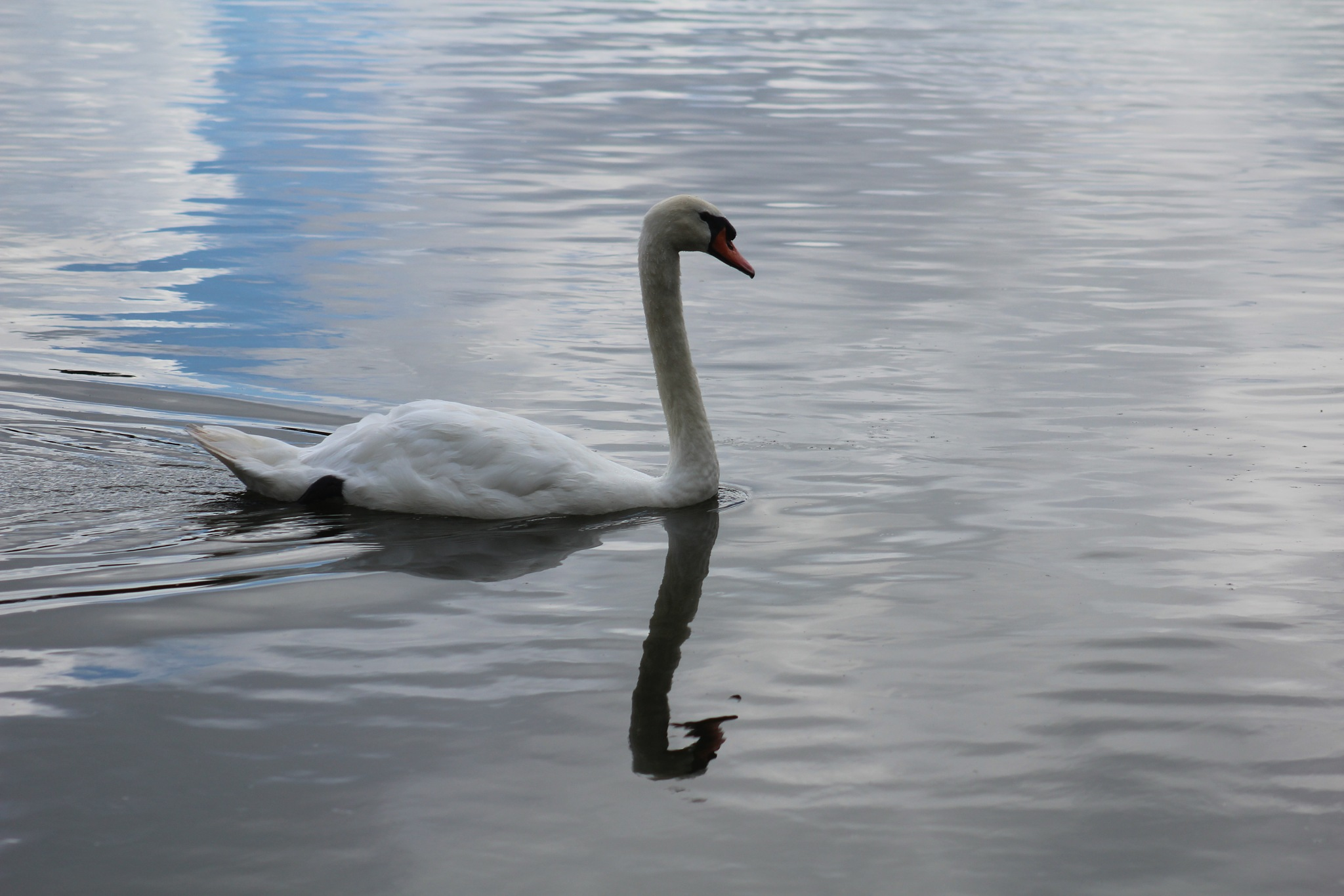 Swan  Reflection by Diane.Mumbower