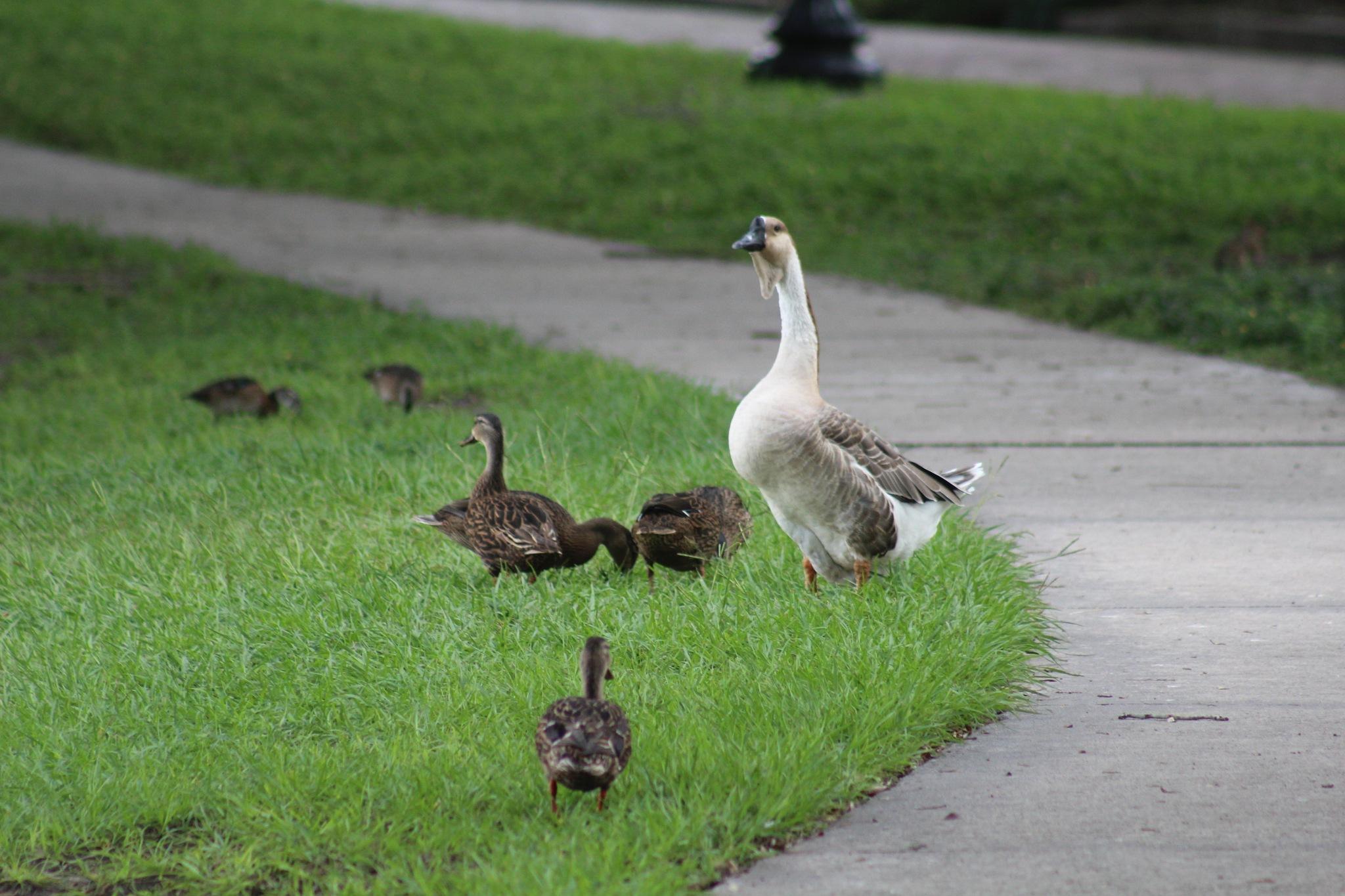 Surrogate Duck  parent by Diane.Mumbower