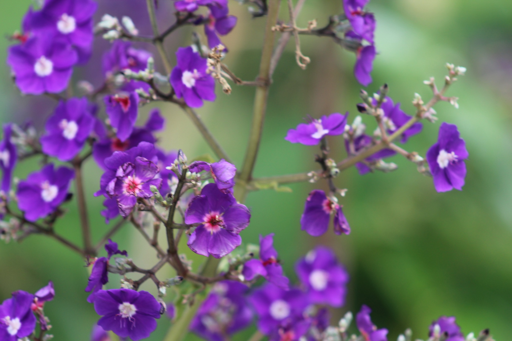 purple petals by Diane.Mumbower
