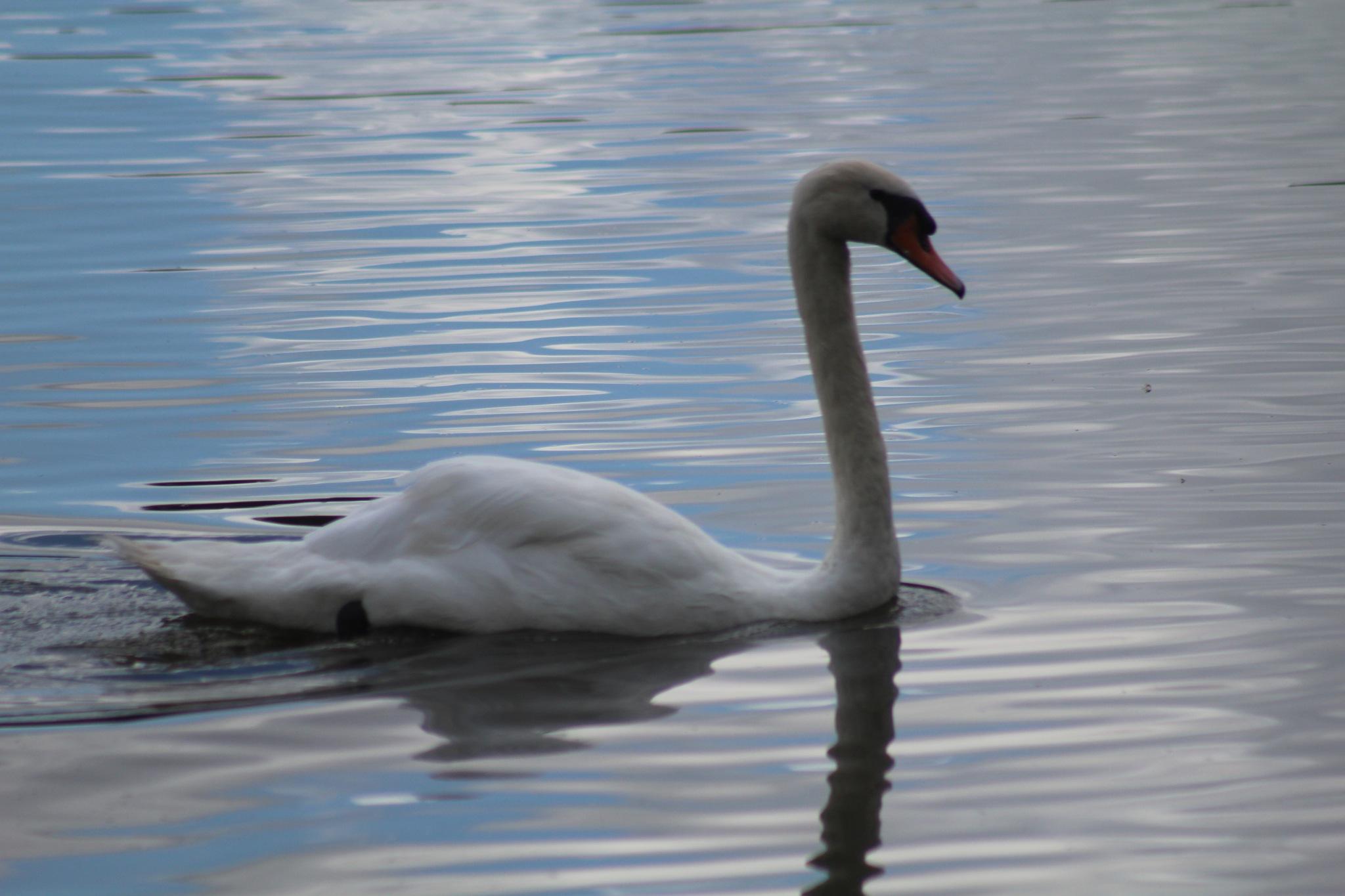 Swan swim  by Diane.Mumbower