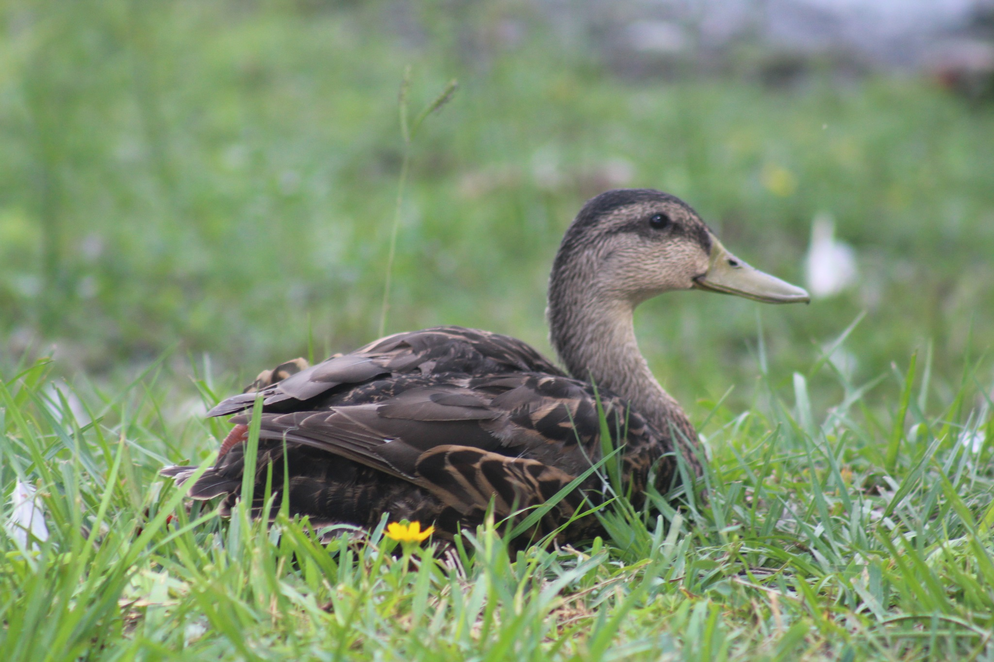 Duck  in the grass by Diane.Mumbower