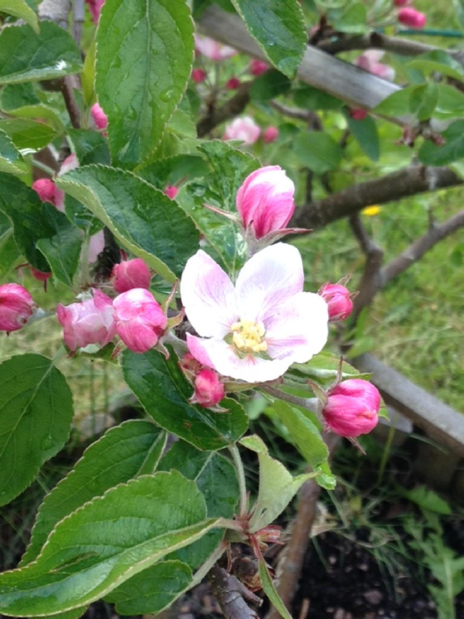 äppelblomma by ingmarie.regner