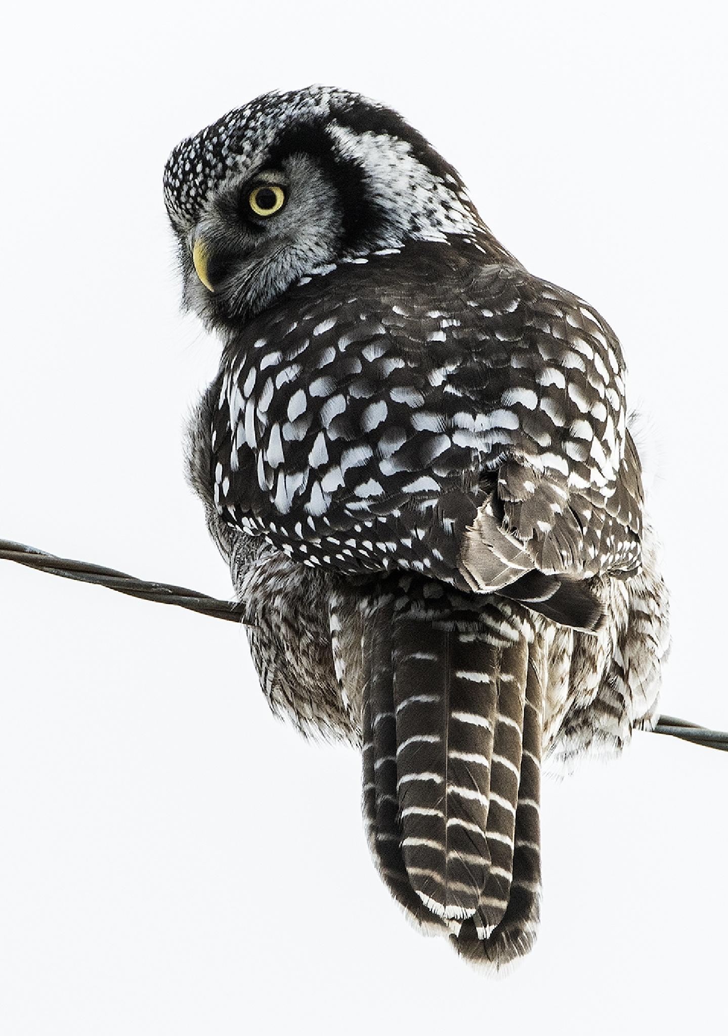 Northern Hawk Owl by Walter Nussbaumer