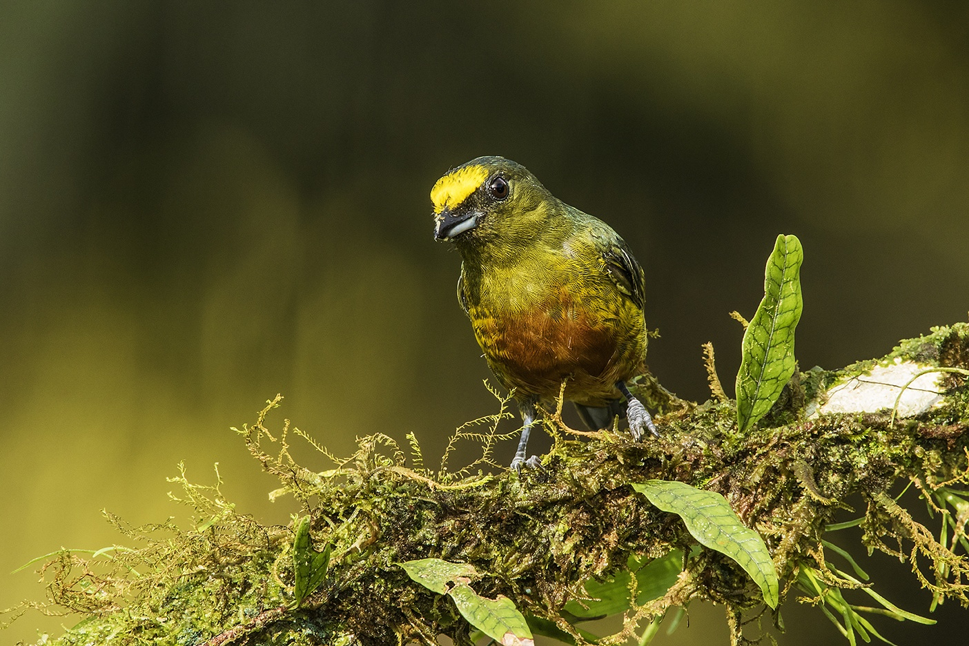 Olive Backed Euphonia by Walter Nussbaumer