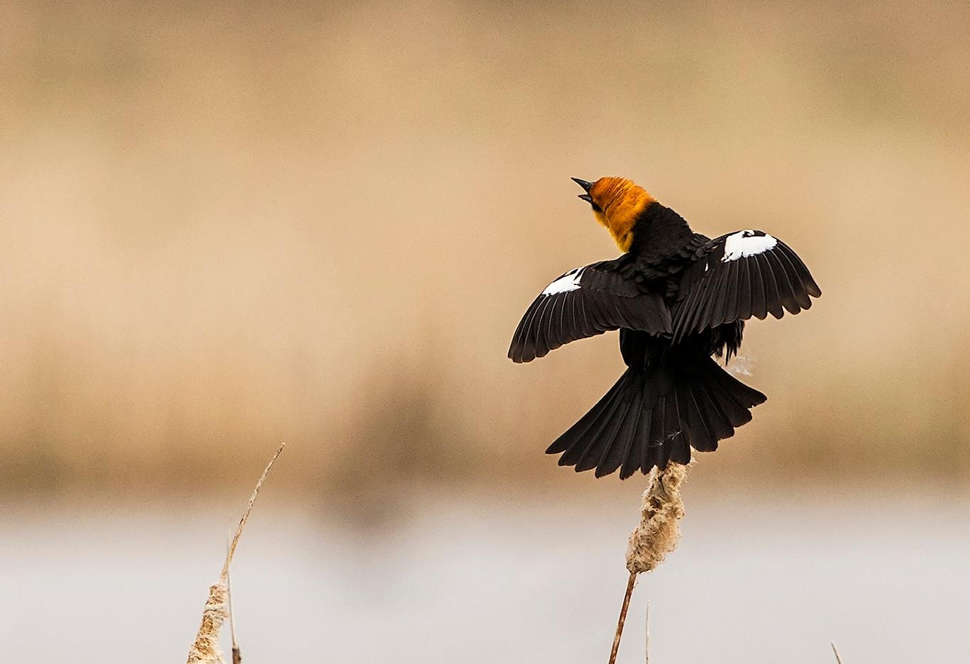 Yellow Headed Blackbird by Walter Nussbaumer