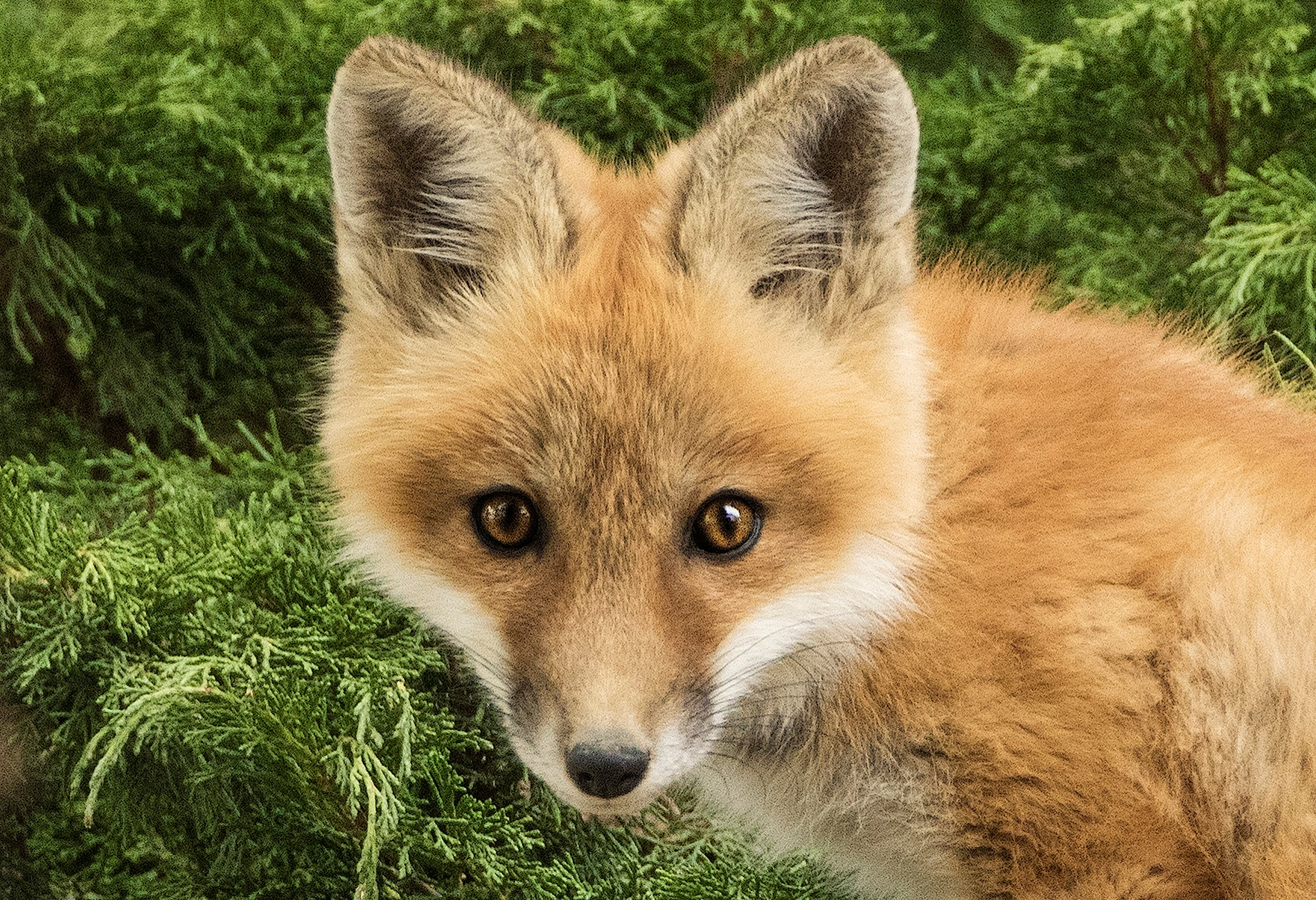 Red Fox Kit by Walter Nussbaumer