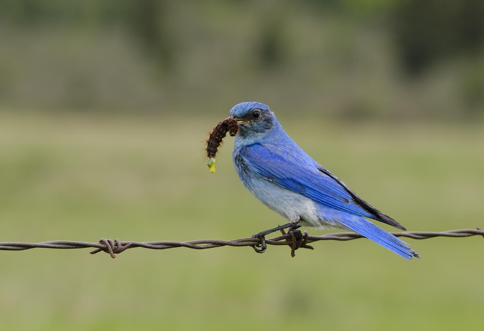 Mountain Blue Bird (male) by Walter Nussbaumer