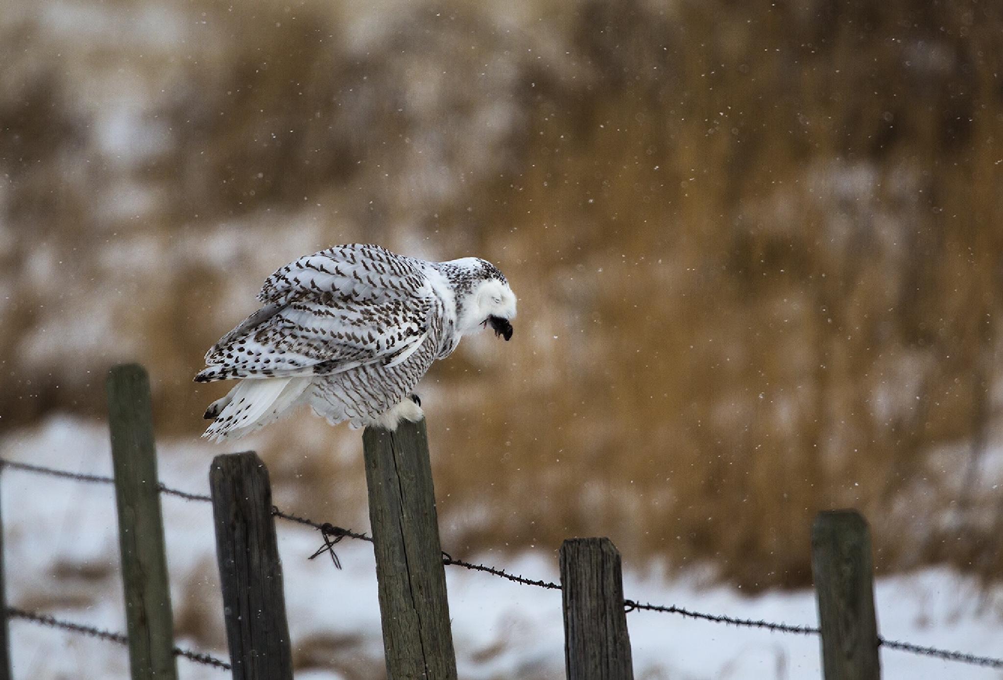 Photo in Animal #owl #snowy owl #bird of prey #bubo scandiacus