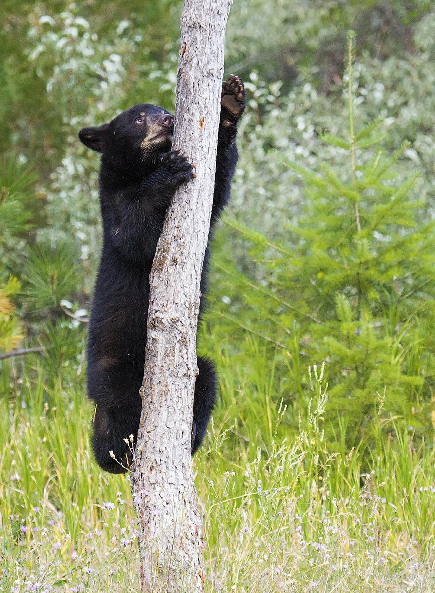 Black Bear Cub by Walter Nussbaumer