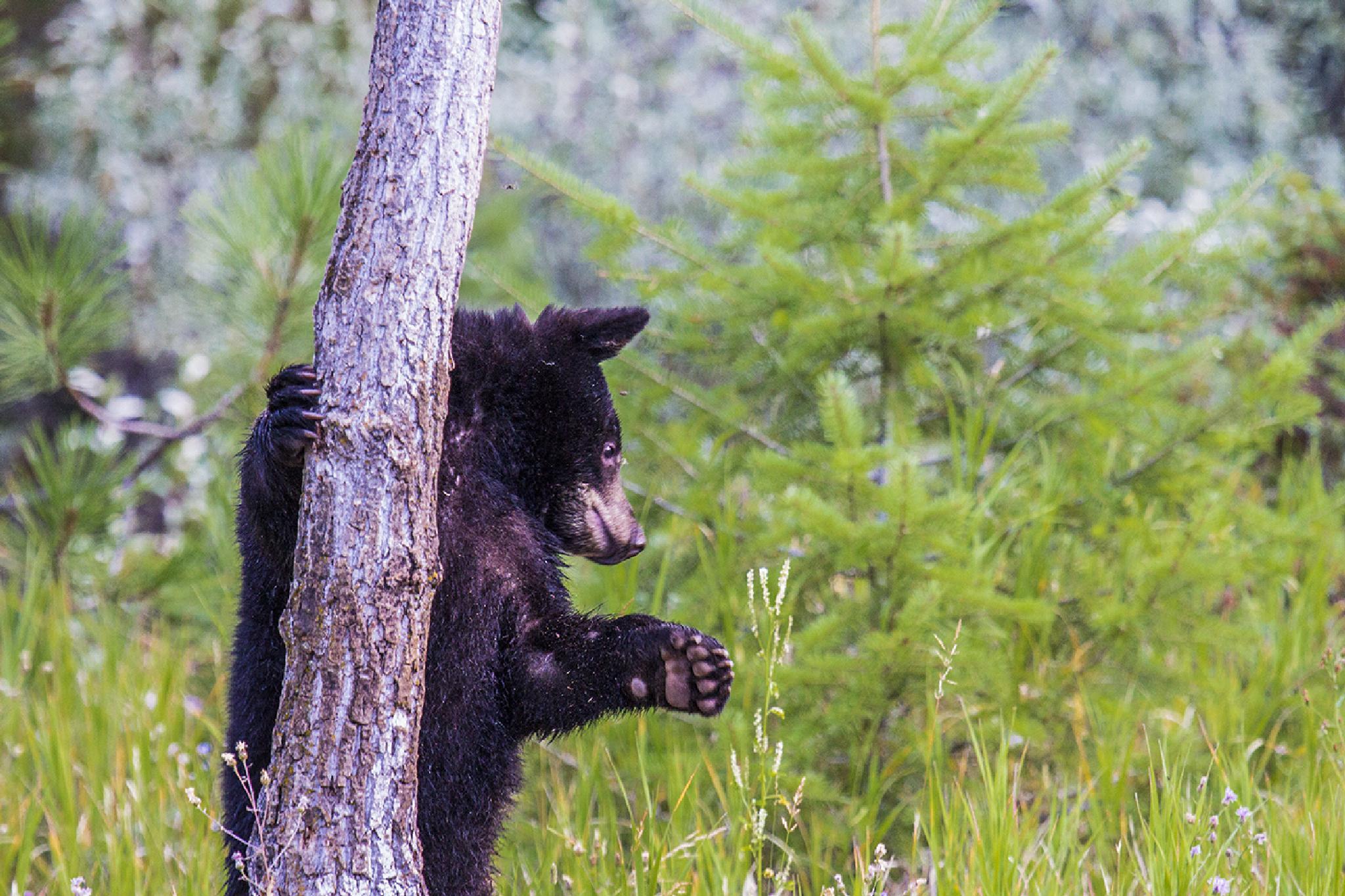 Black Bear Cub by Walter Nussbaumer