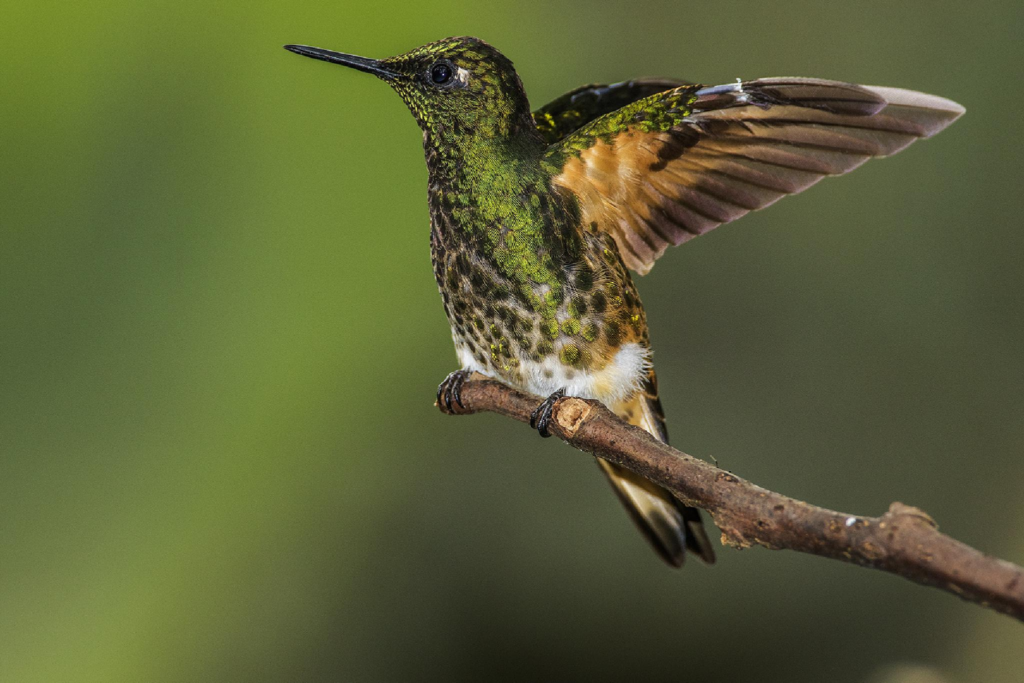 Buff Tailed Coronet by Walter Nussbaumer