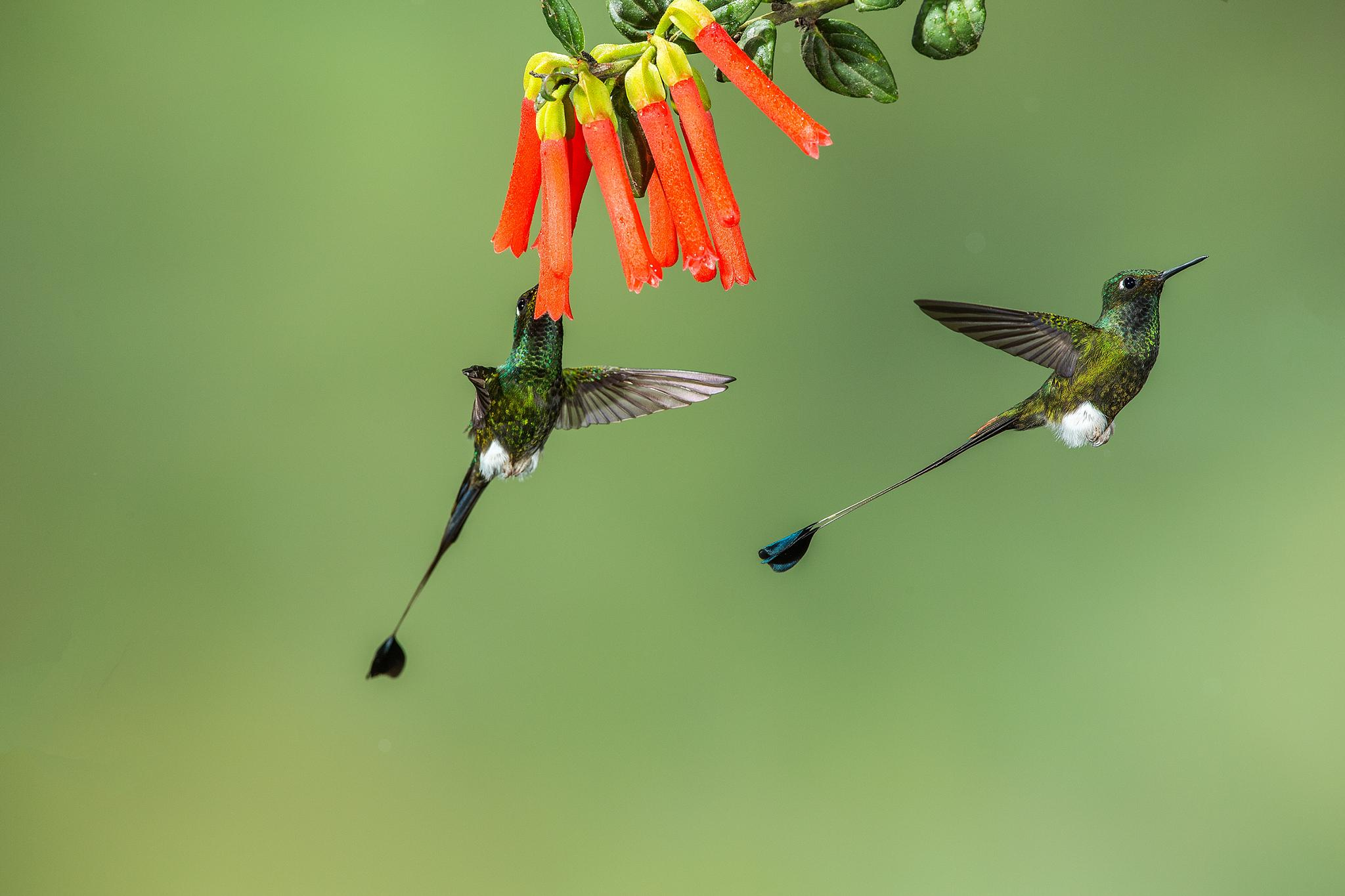 Booted Racket-tail Hummingbirds by Walter Nussbaumer