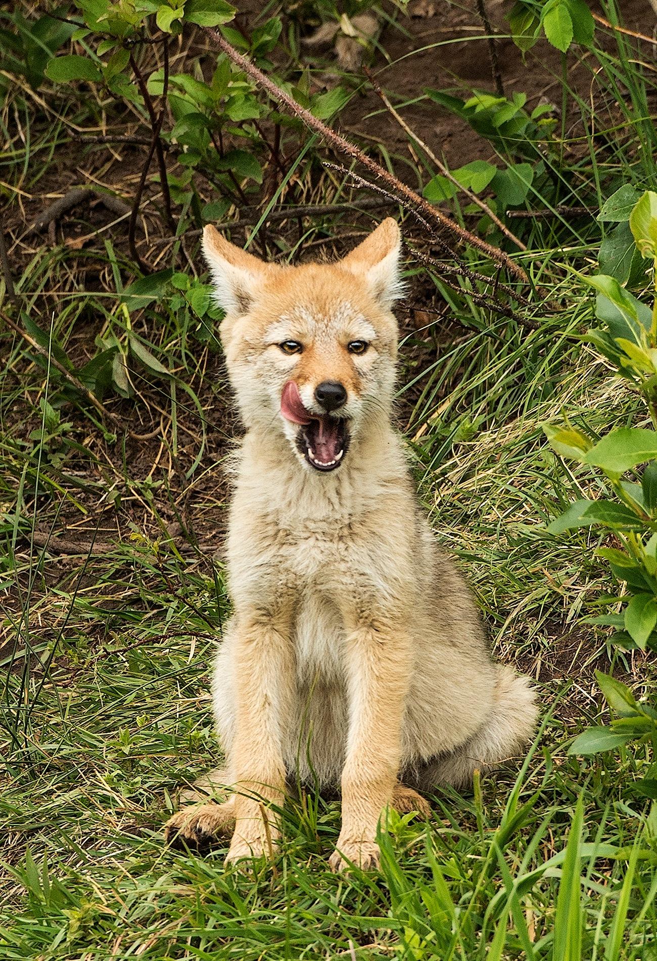 Coyote Kit by Walter Nussbaumer