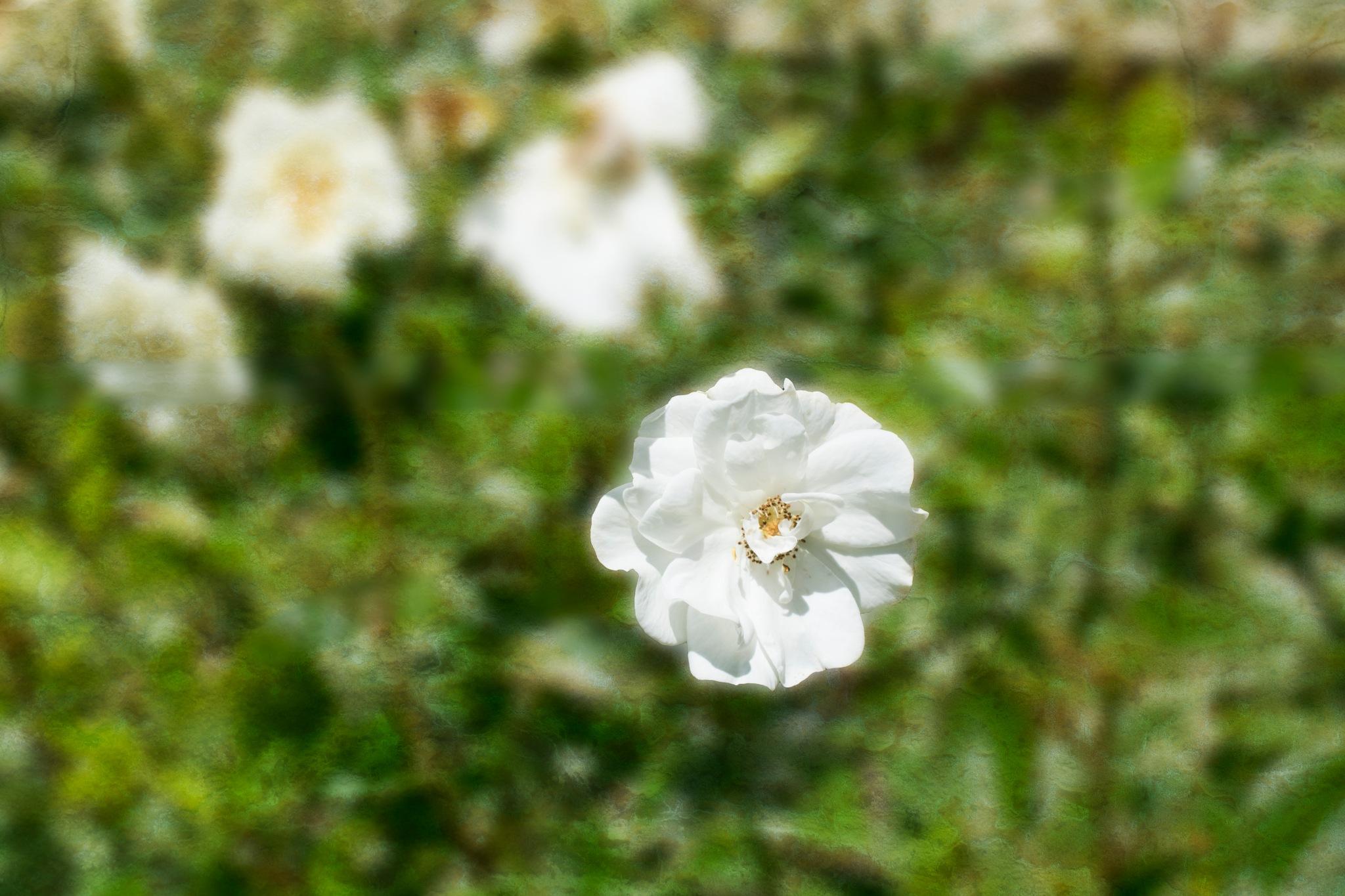 White Flower by stephen.harding.735