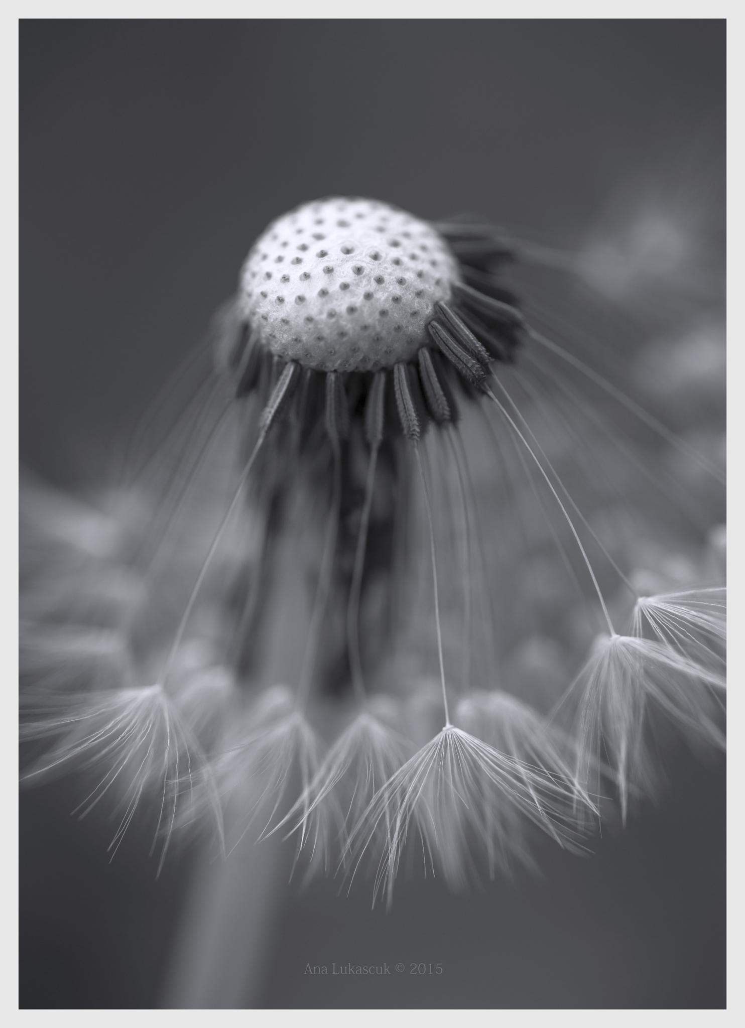 dandelion mono by AnaLukascuk