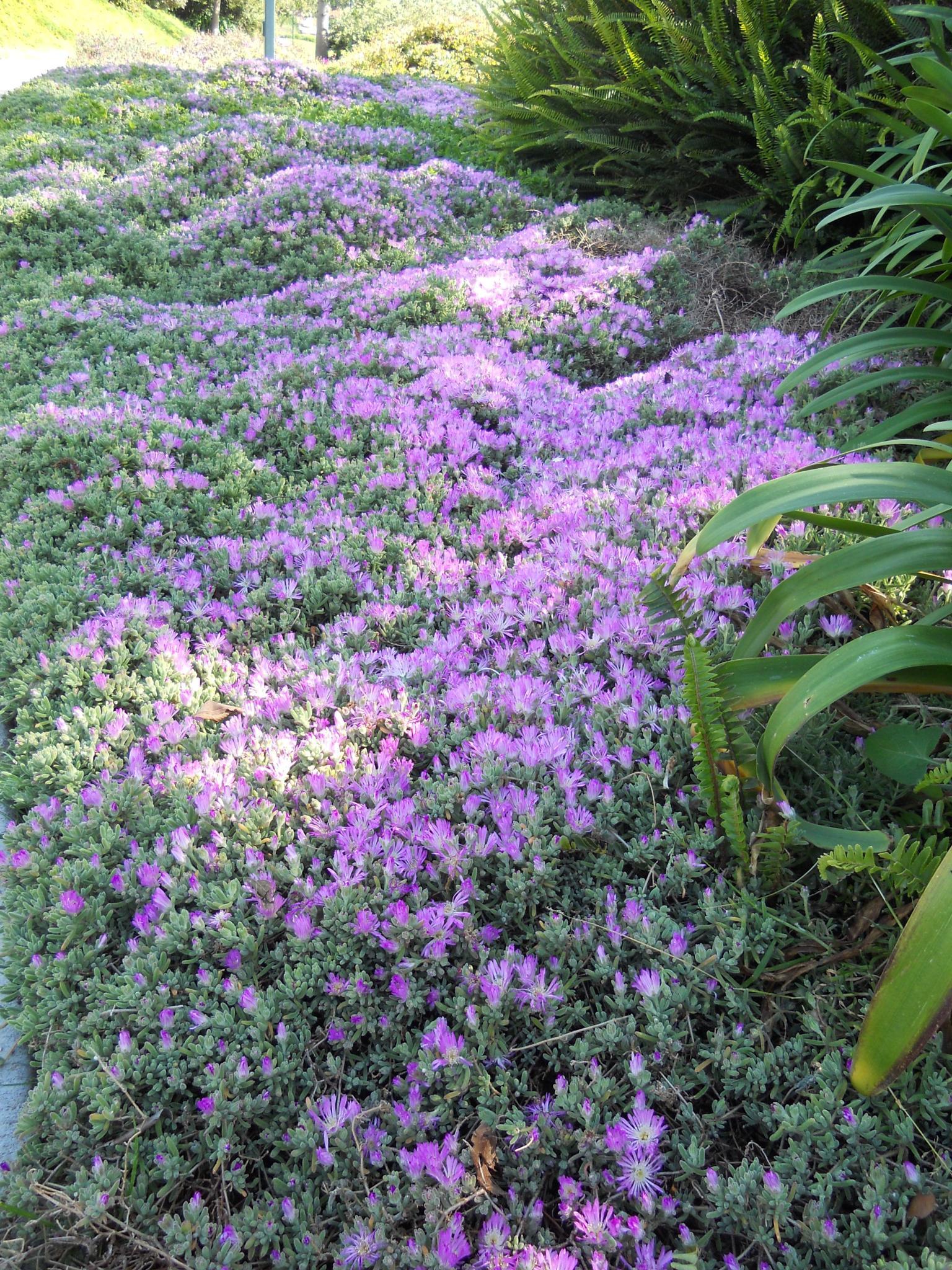 Purple Carpet by jlreitman