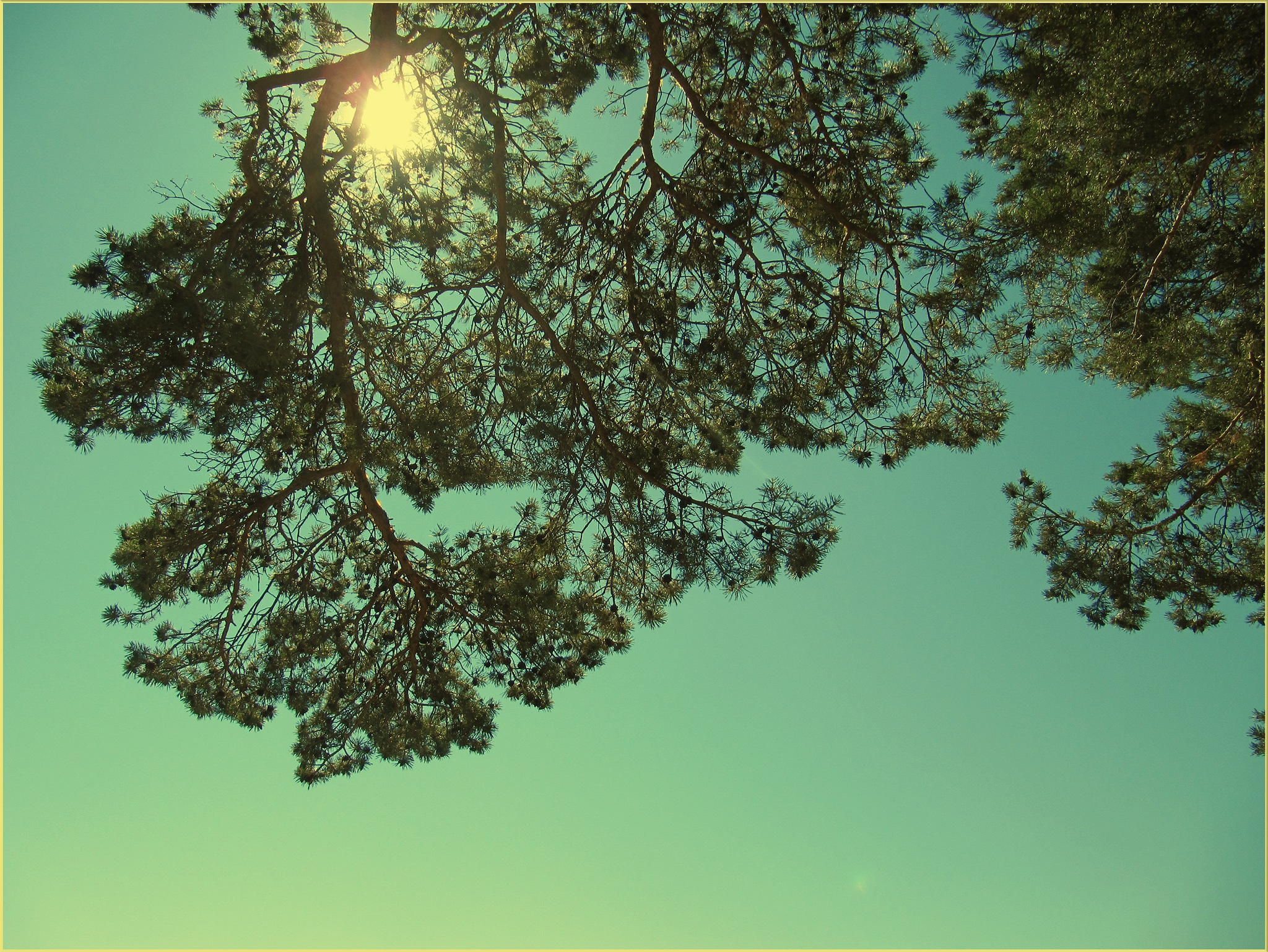 Pine Tree in the Sunshine by Mikael Rennerhorn