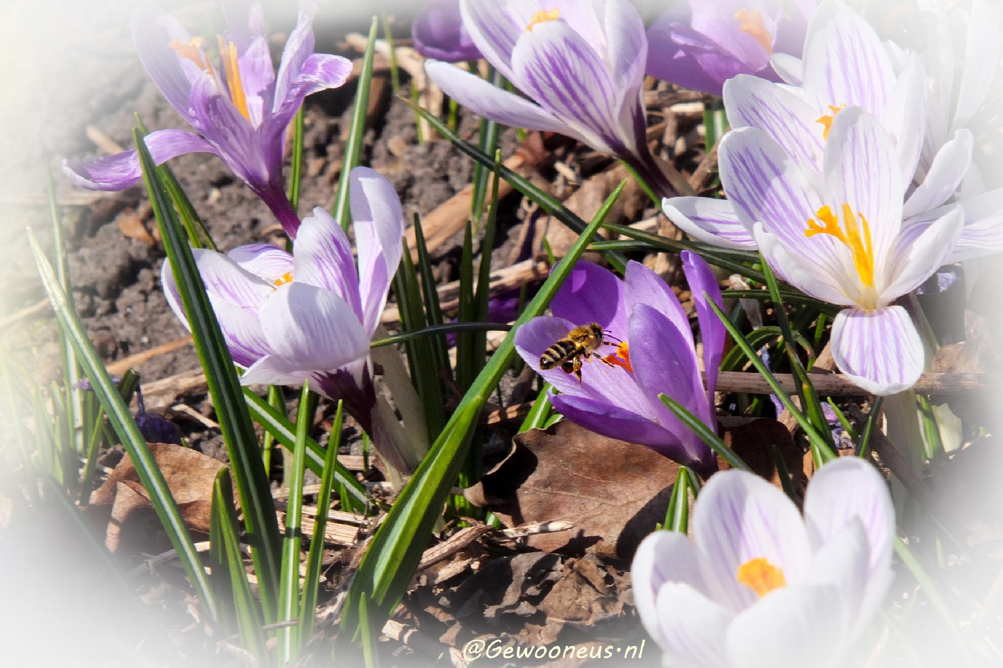 Spring bee by Gewooneus