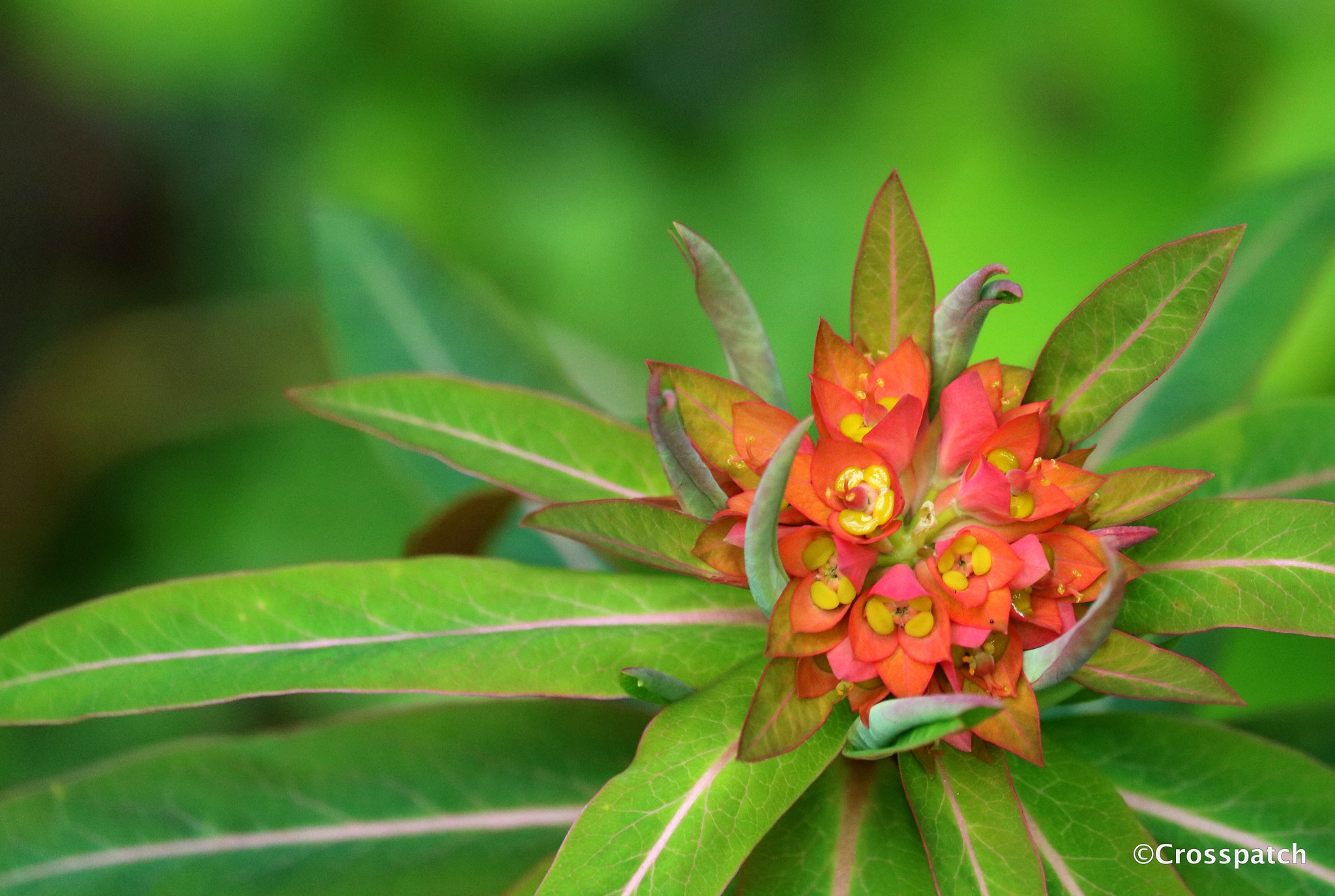 euphorbia by lison Townley