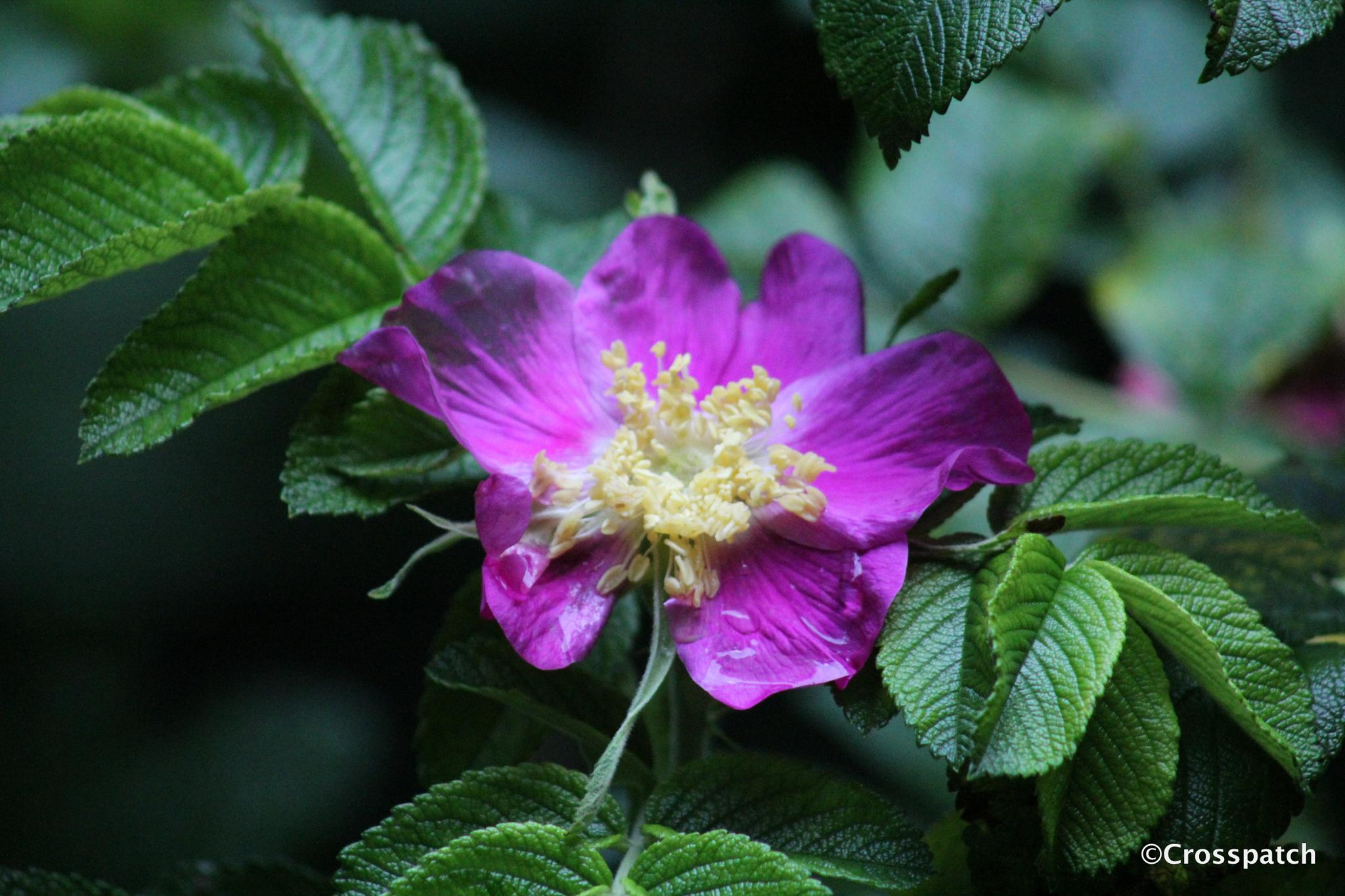 Purple Rosa Rugosa by lison Townley