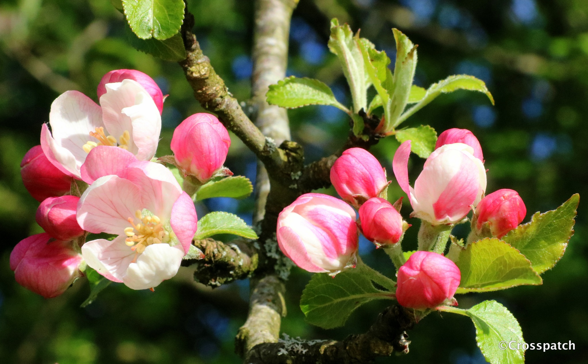 hedgrow apple blossom by lison Townley