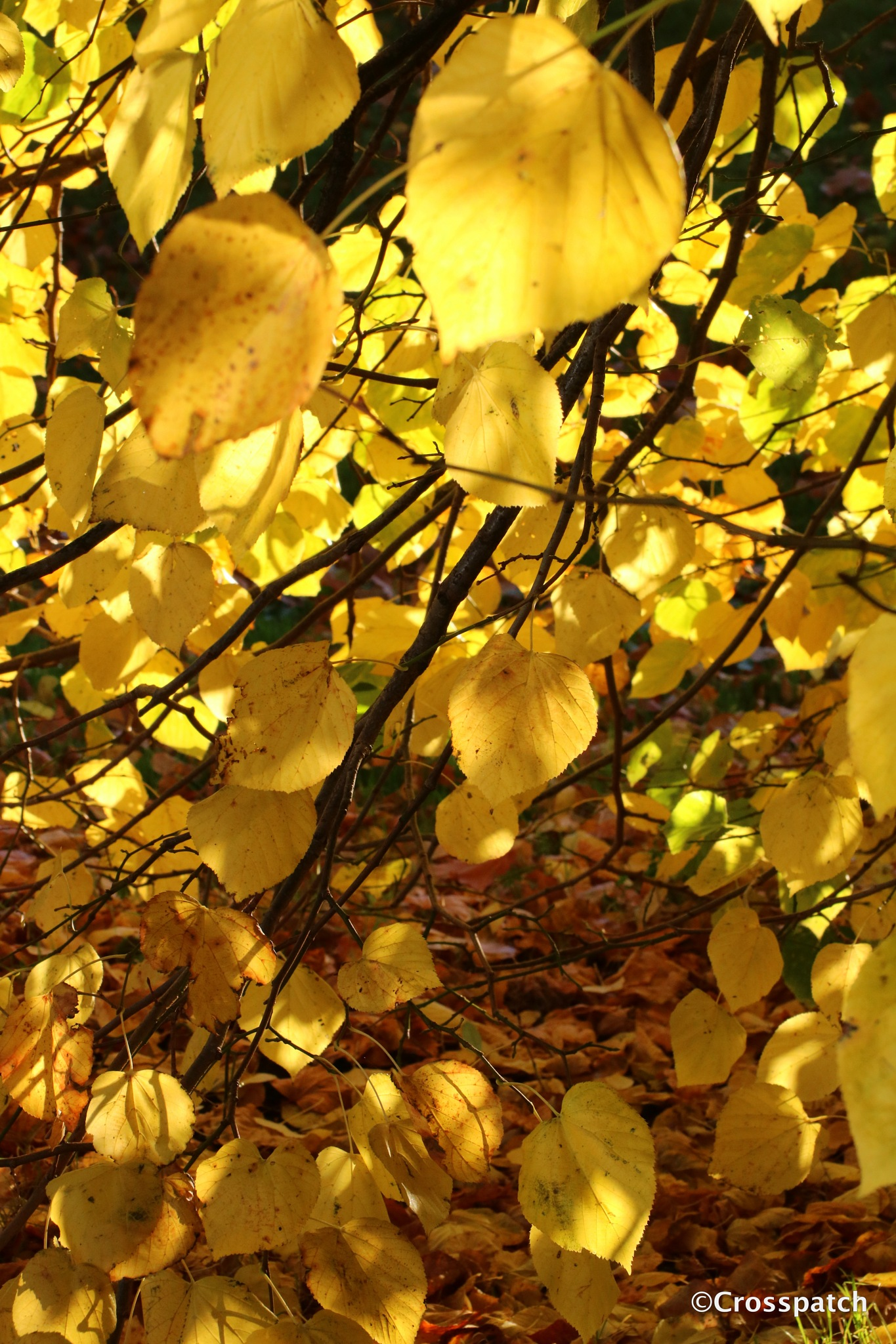 morning sun through a lime tree by lison Townley