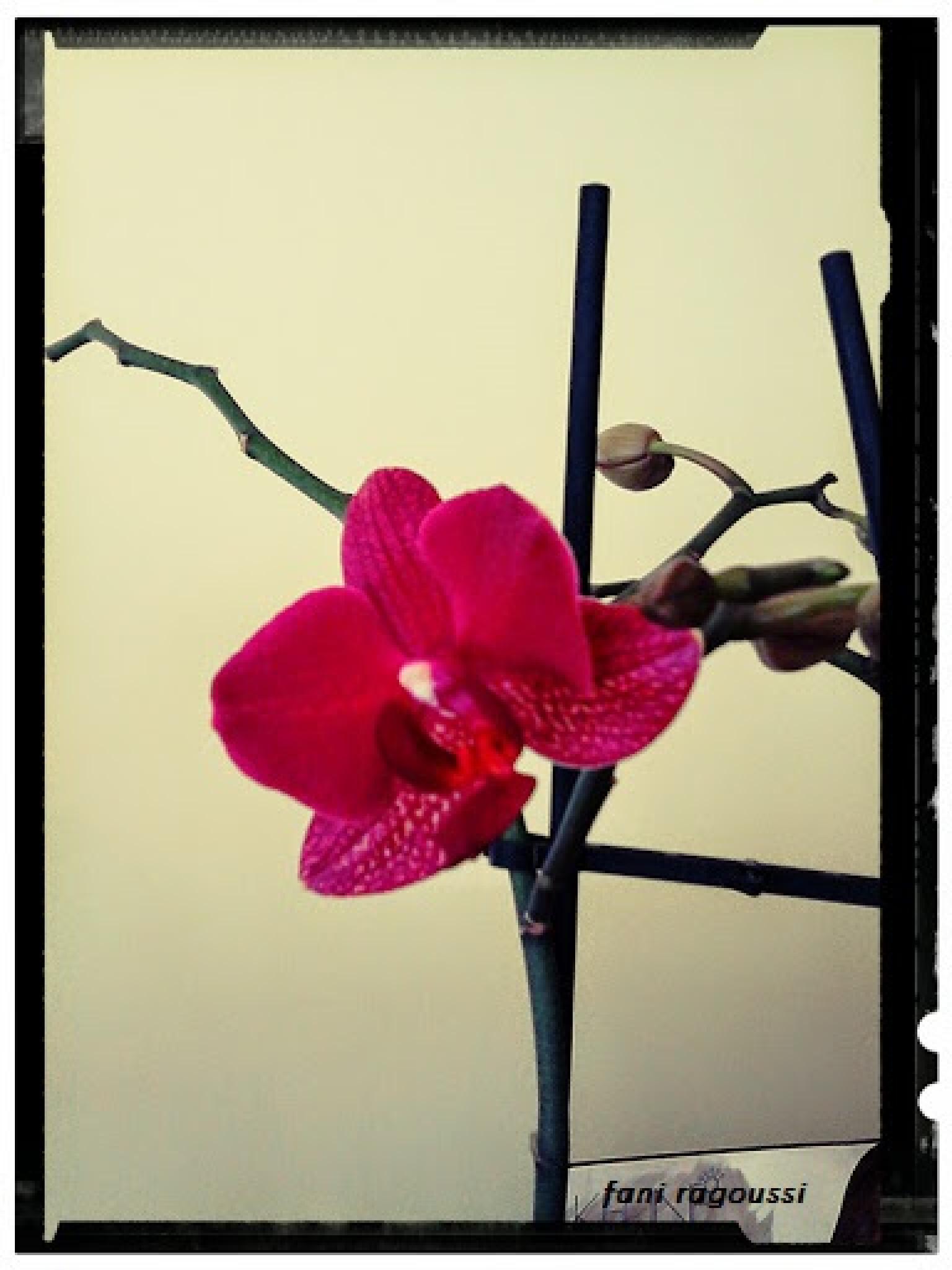orchideas by fani ragoussi