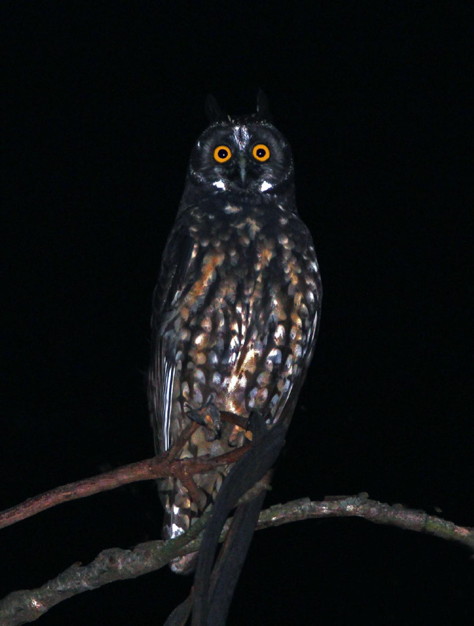 Asio stygius - Stygian Owl/Mocho Diabo by alex.satsukawa