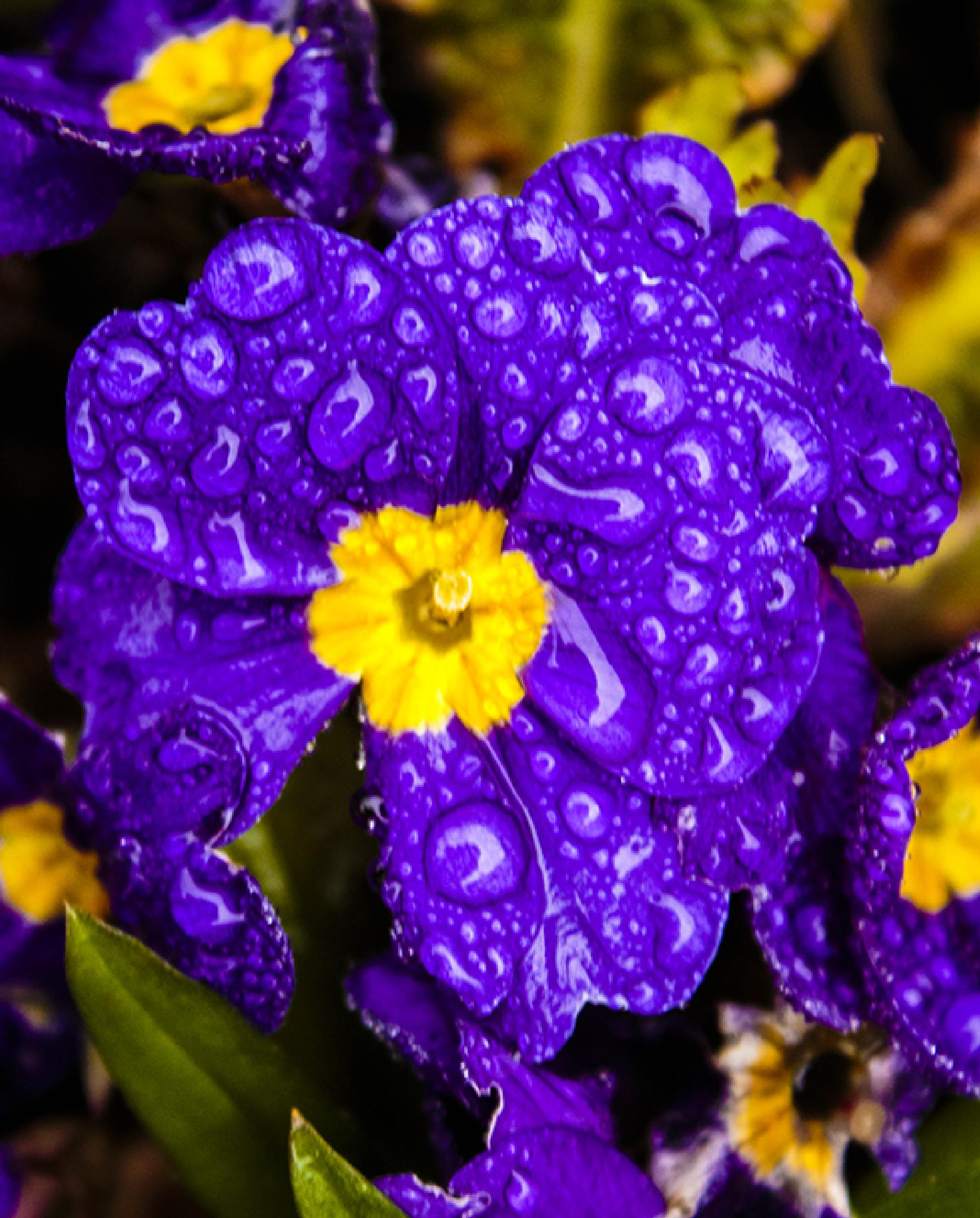 Photo in Nature #purple #primula #mauve #dewy droplets #raindrops