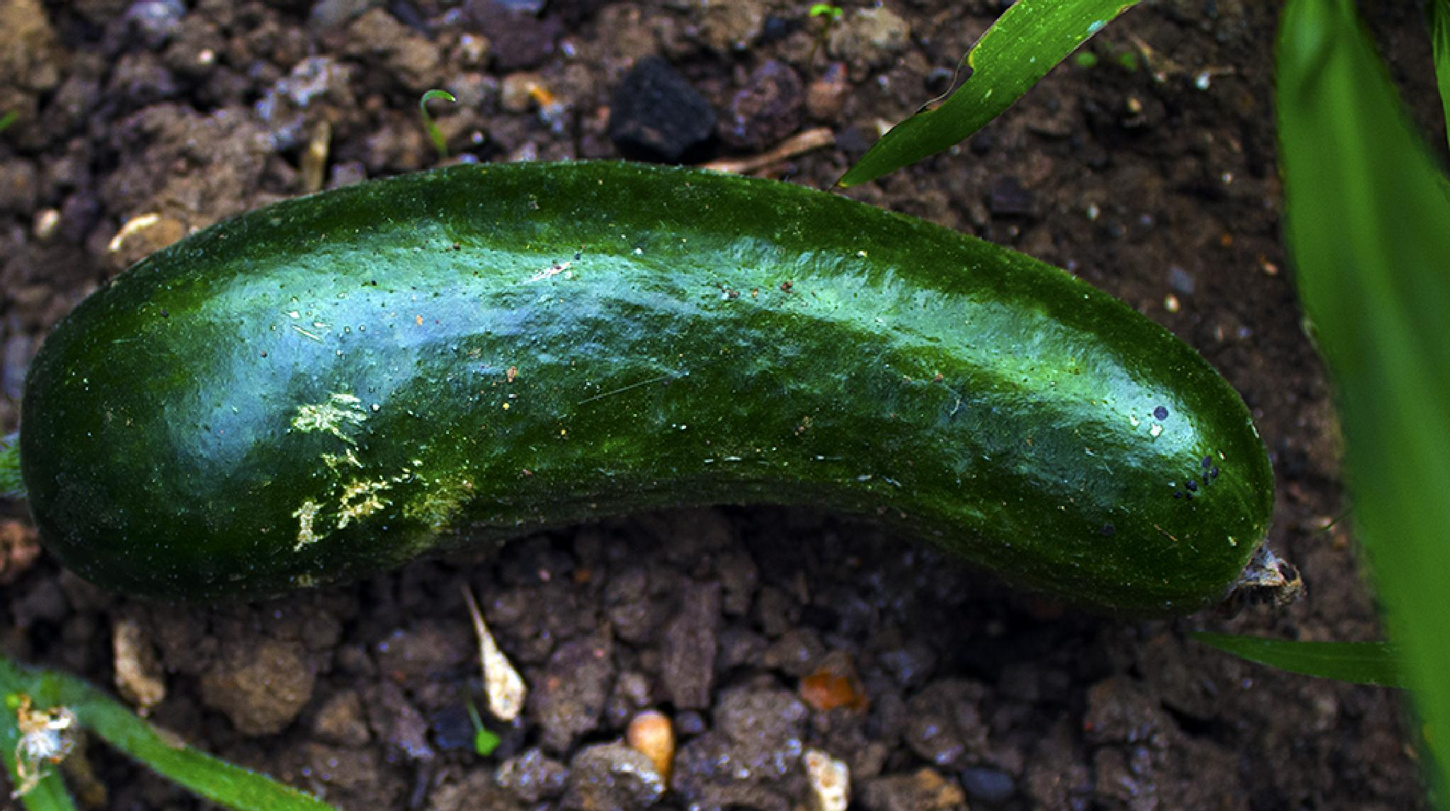 Cucumber by Saami Powell