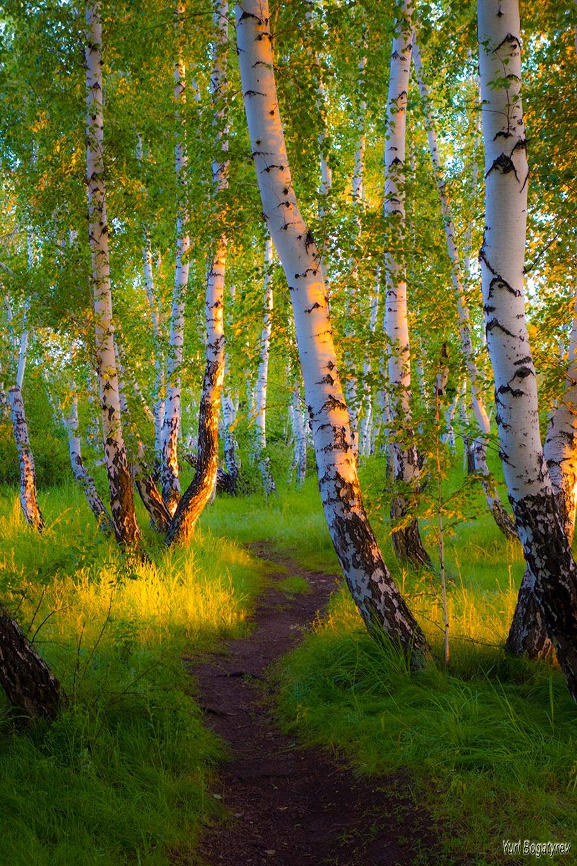 Берёзки в лучах солнца. by Юрий Богатырев