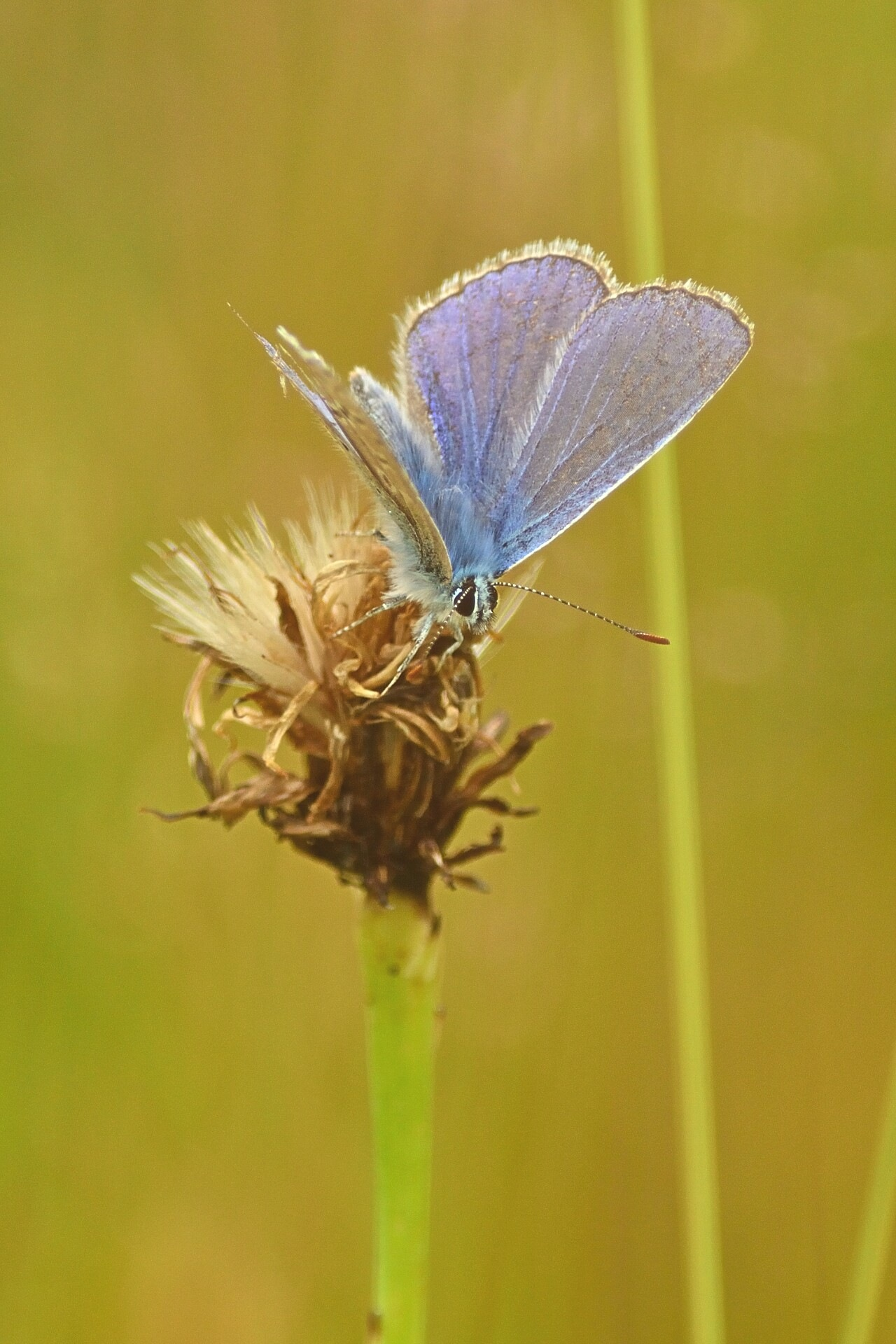 Boomblauwtje/ Holly Blue by Henk Meima
