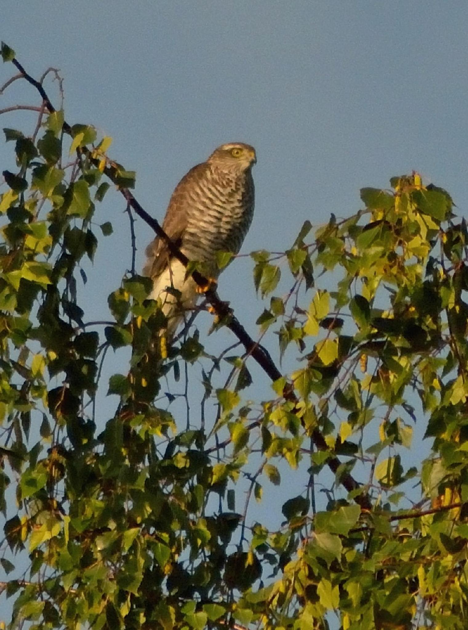 Sperwer / Sparrow-Hawk by Henk Meima