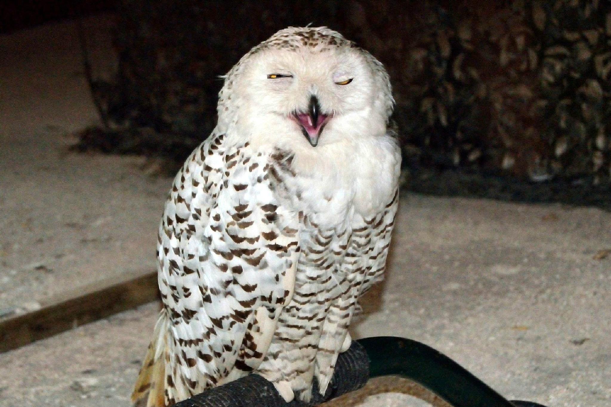 Sleepy Snow Owl / Slaperige Sneeuwuil by Henk Meima