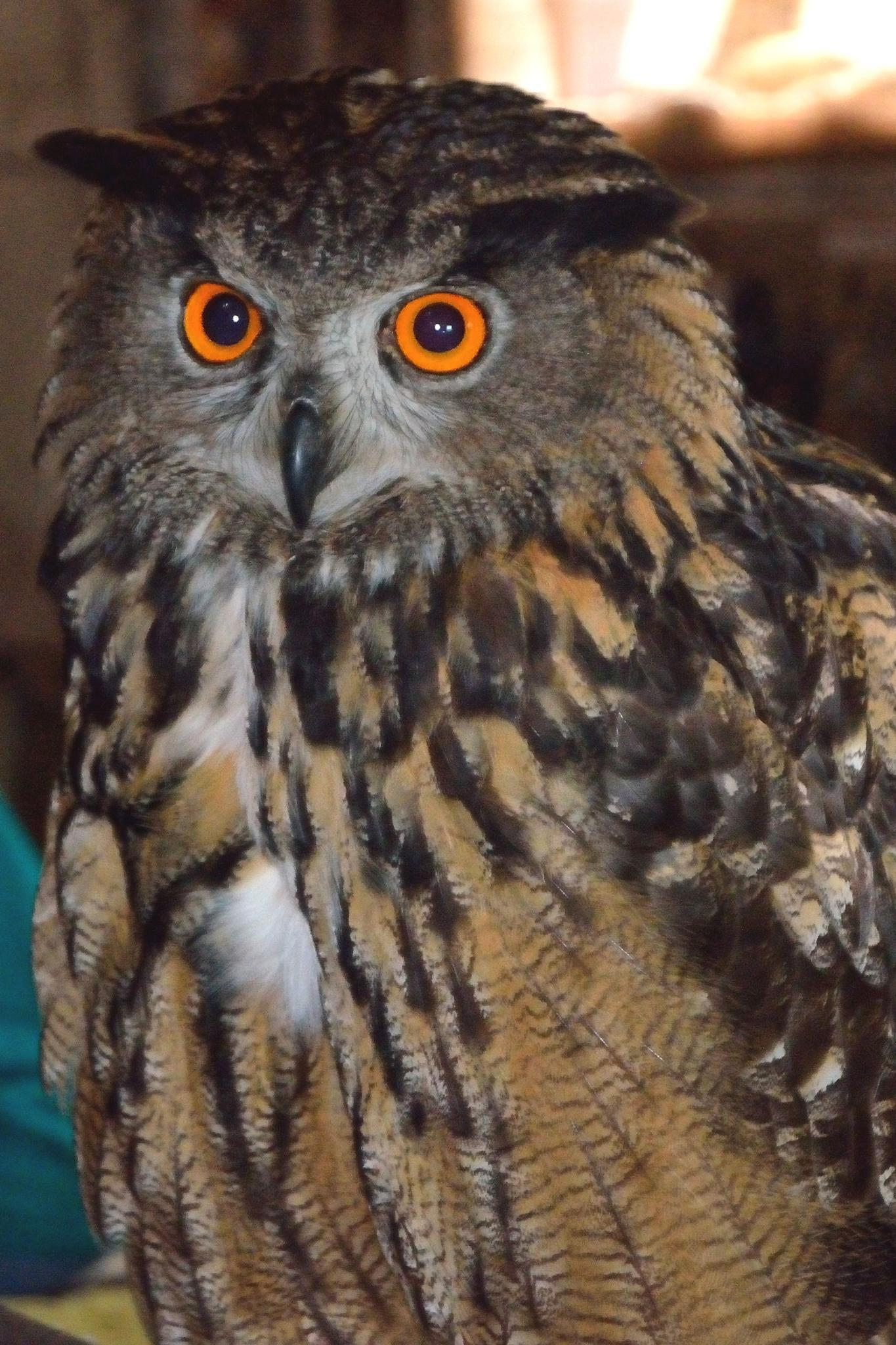 Europese Oehoe / European Eagle Owl by Henk Meima