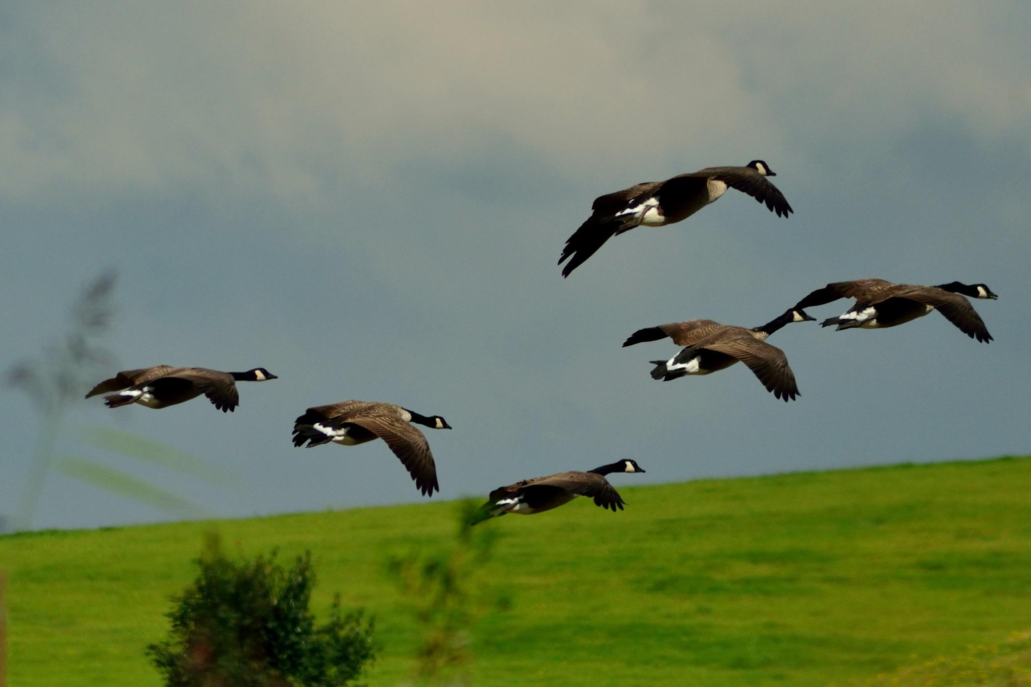 Canadeze ganzen / Canadean geese by Henk Meima