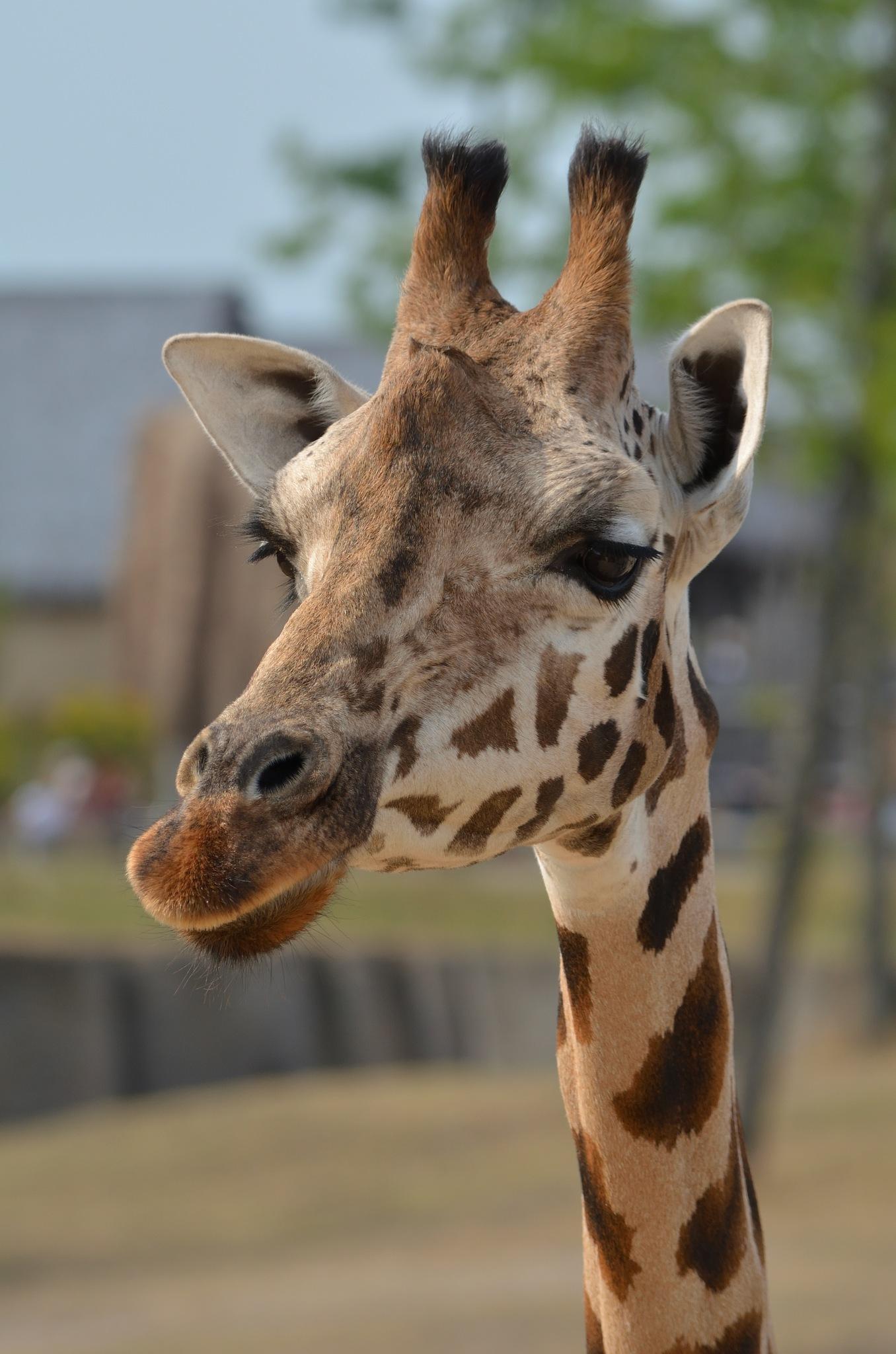 Giraffe  by Henk Meima