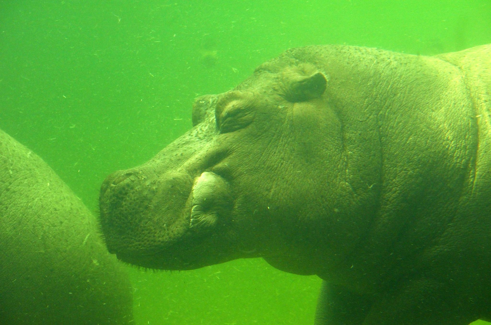 Hippo underwater by Henk Meima