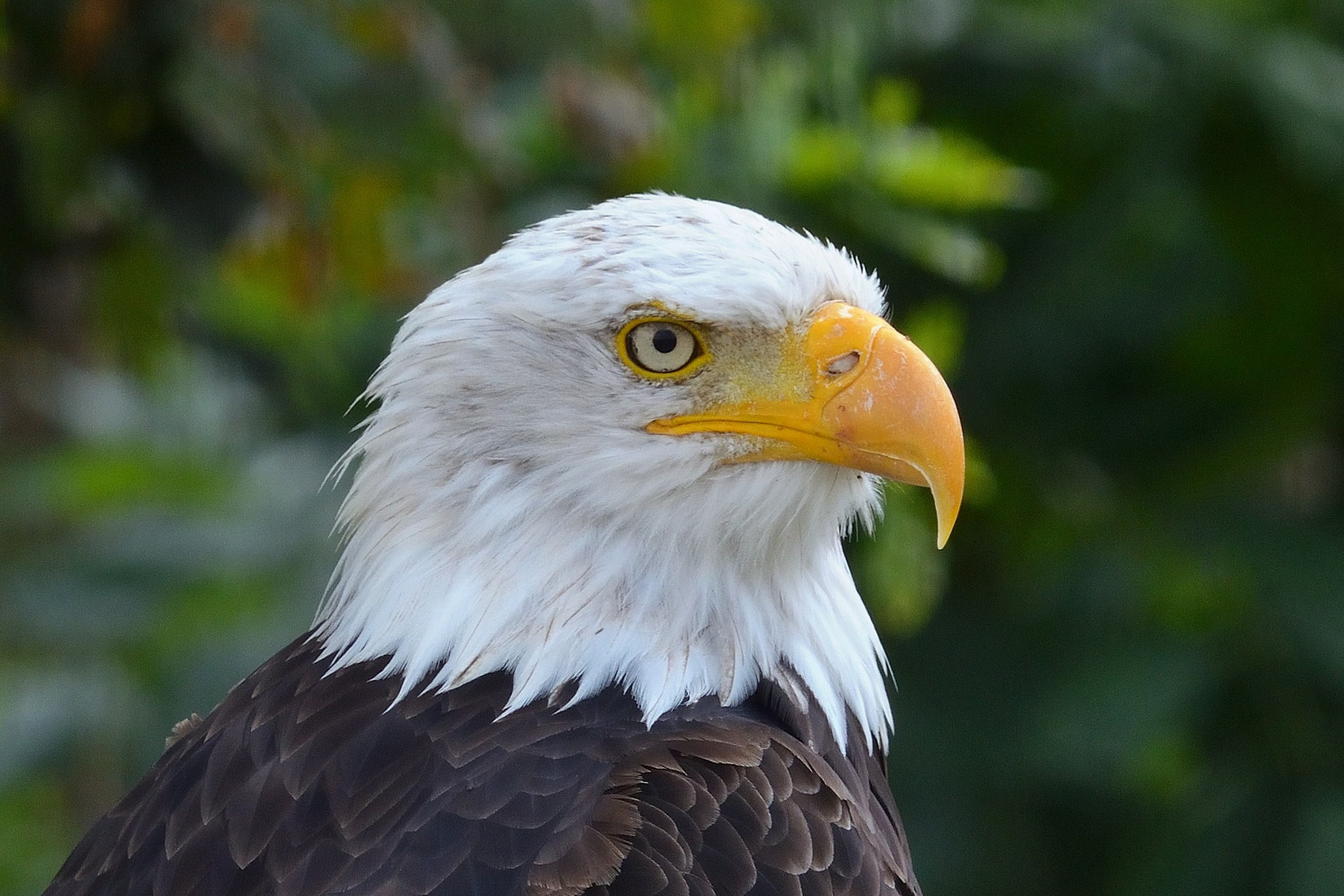 Bold Eagle by Henk Meima