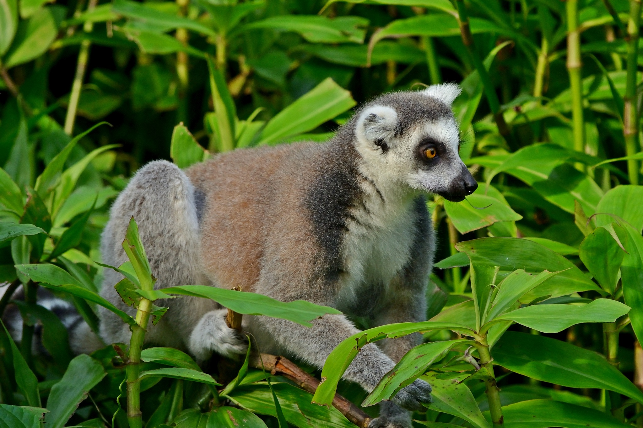Ringstaart Maki / ring-tailed lemur by Henk Meima
