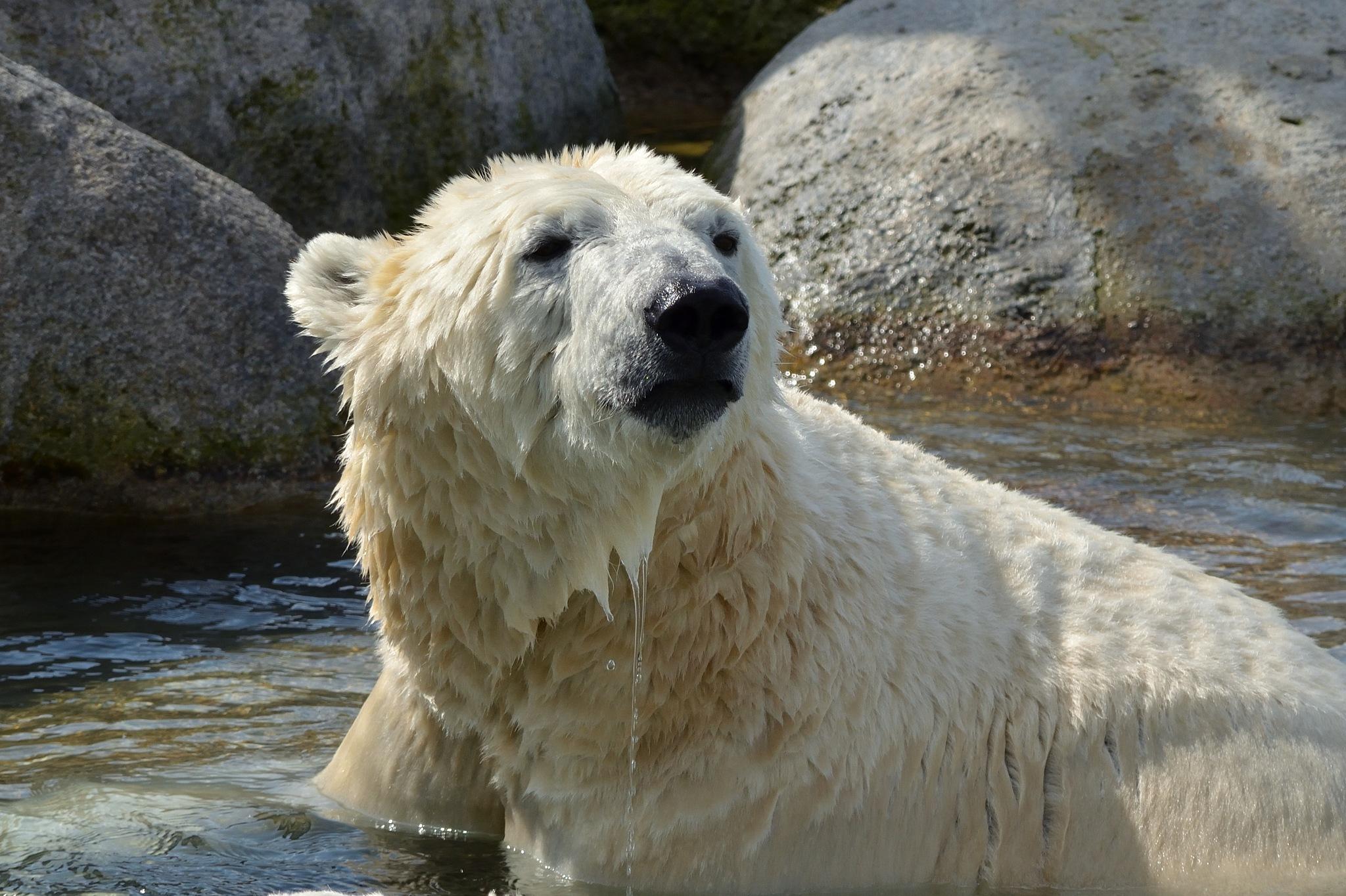 Ice bear  by Henk Meima