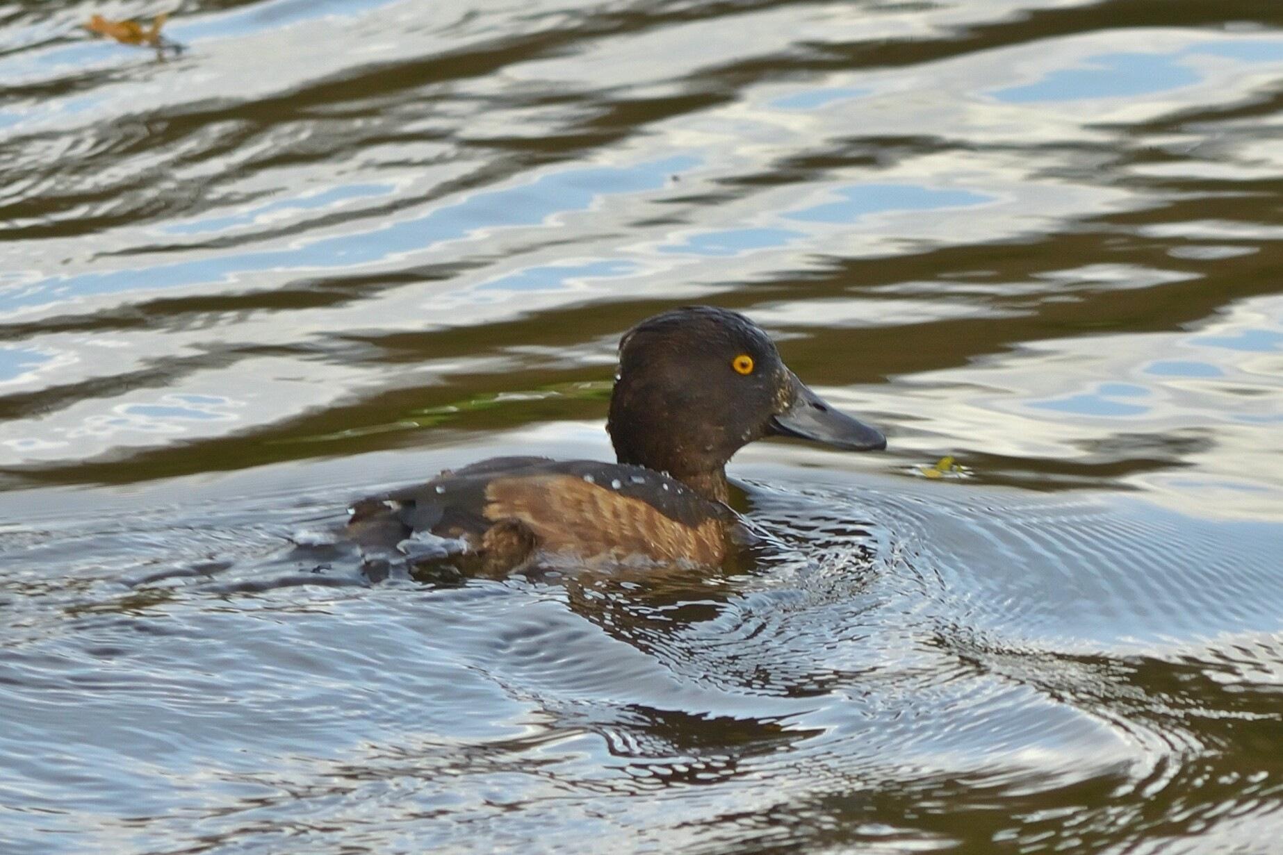 Kuifeend Tafted duck by Henk Meima