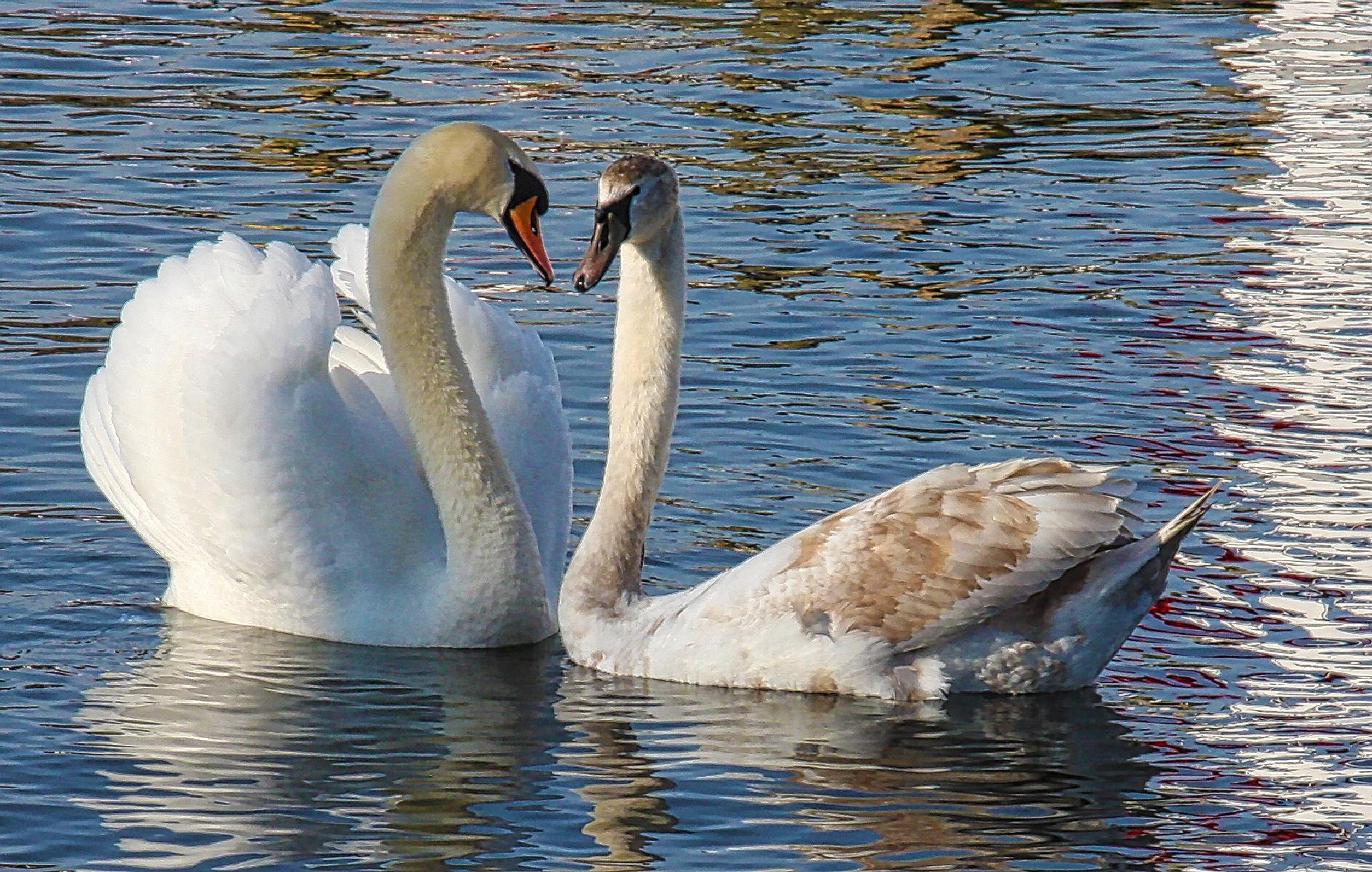 Swan and cygnet by steveworrll