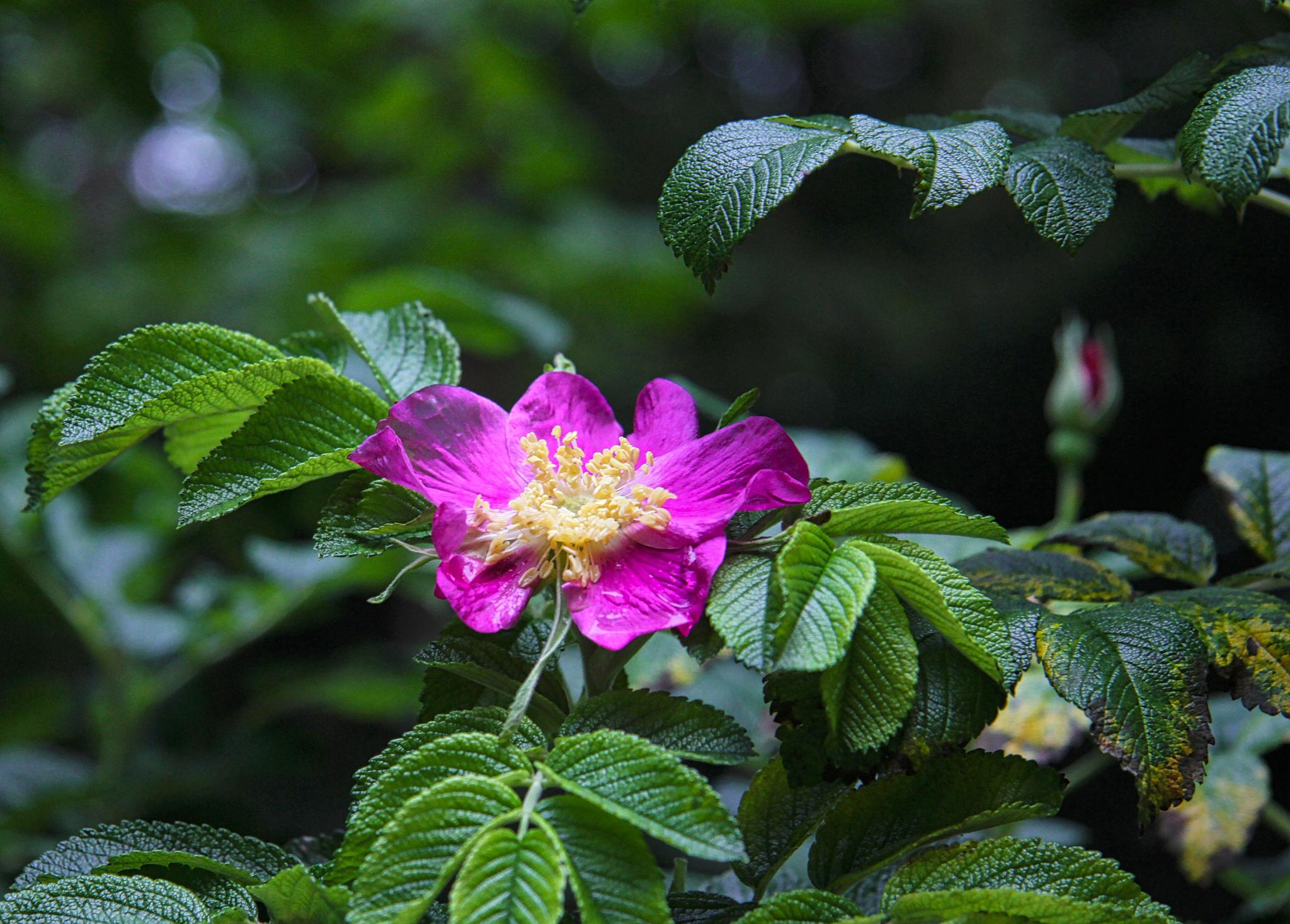 rosa rugosa by steveworrll