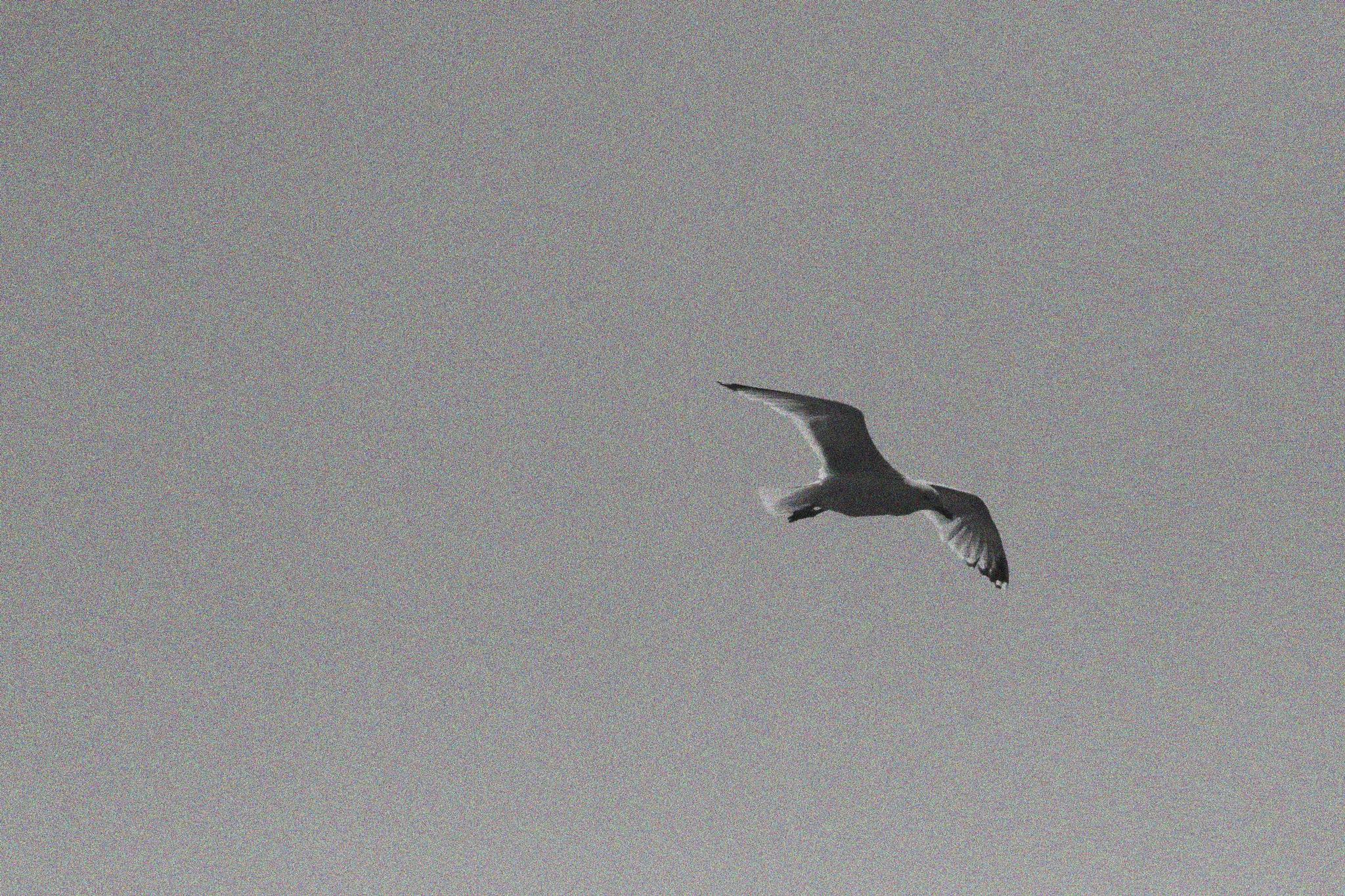 Johnathan Livingstone Seagull by steveworrll